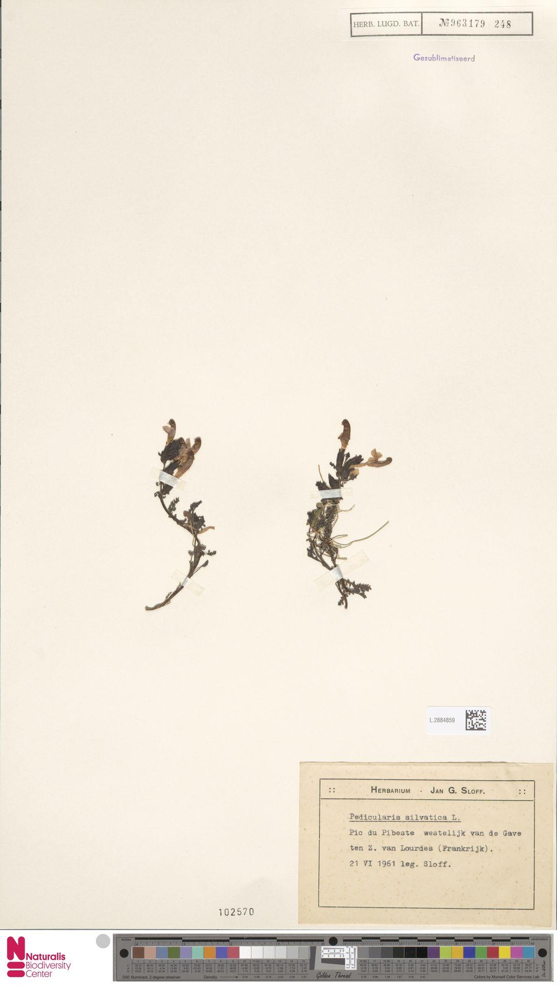 L.2884859 | Pedicularis sylvatica L.