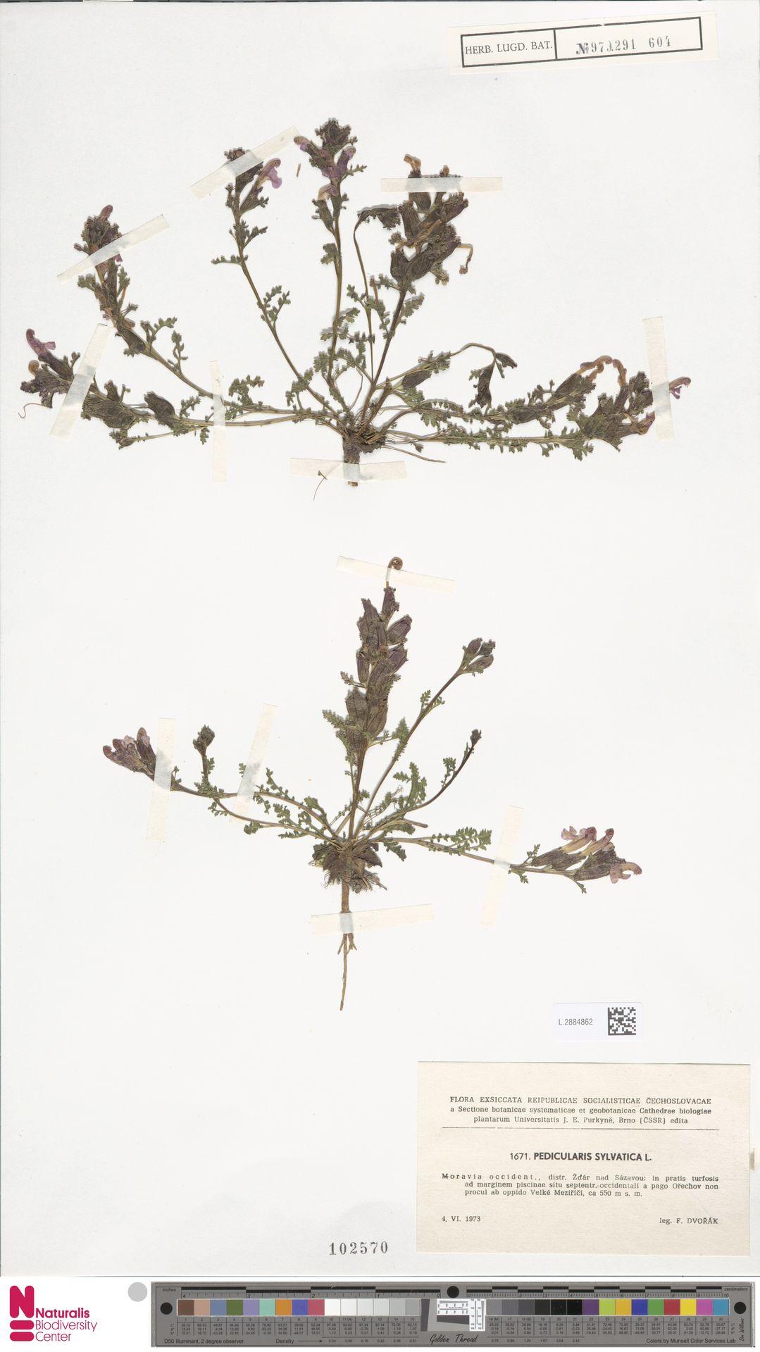 L.2884862 | Pedicularis sylvatica L.