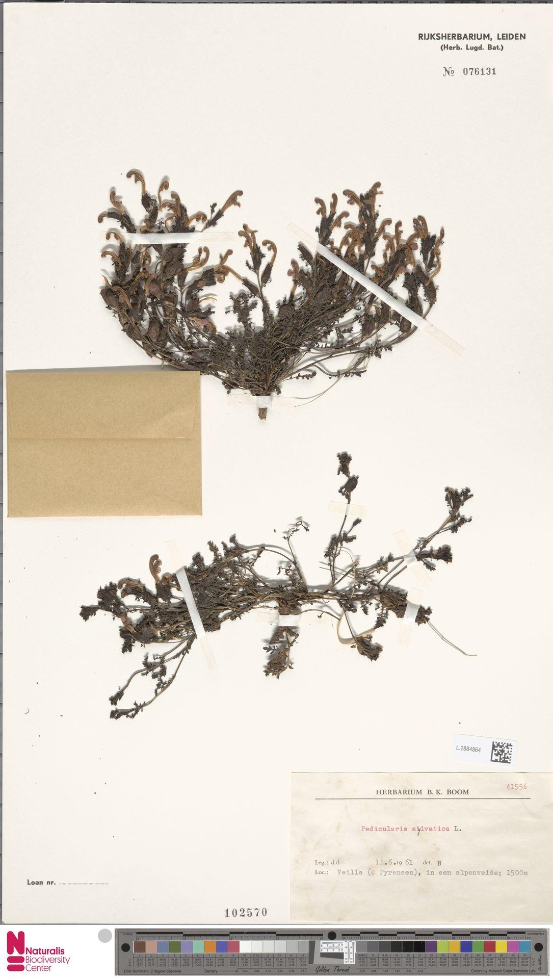 L.2884864 | Pedicularis sylvatica L.