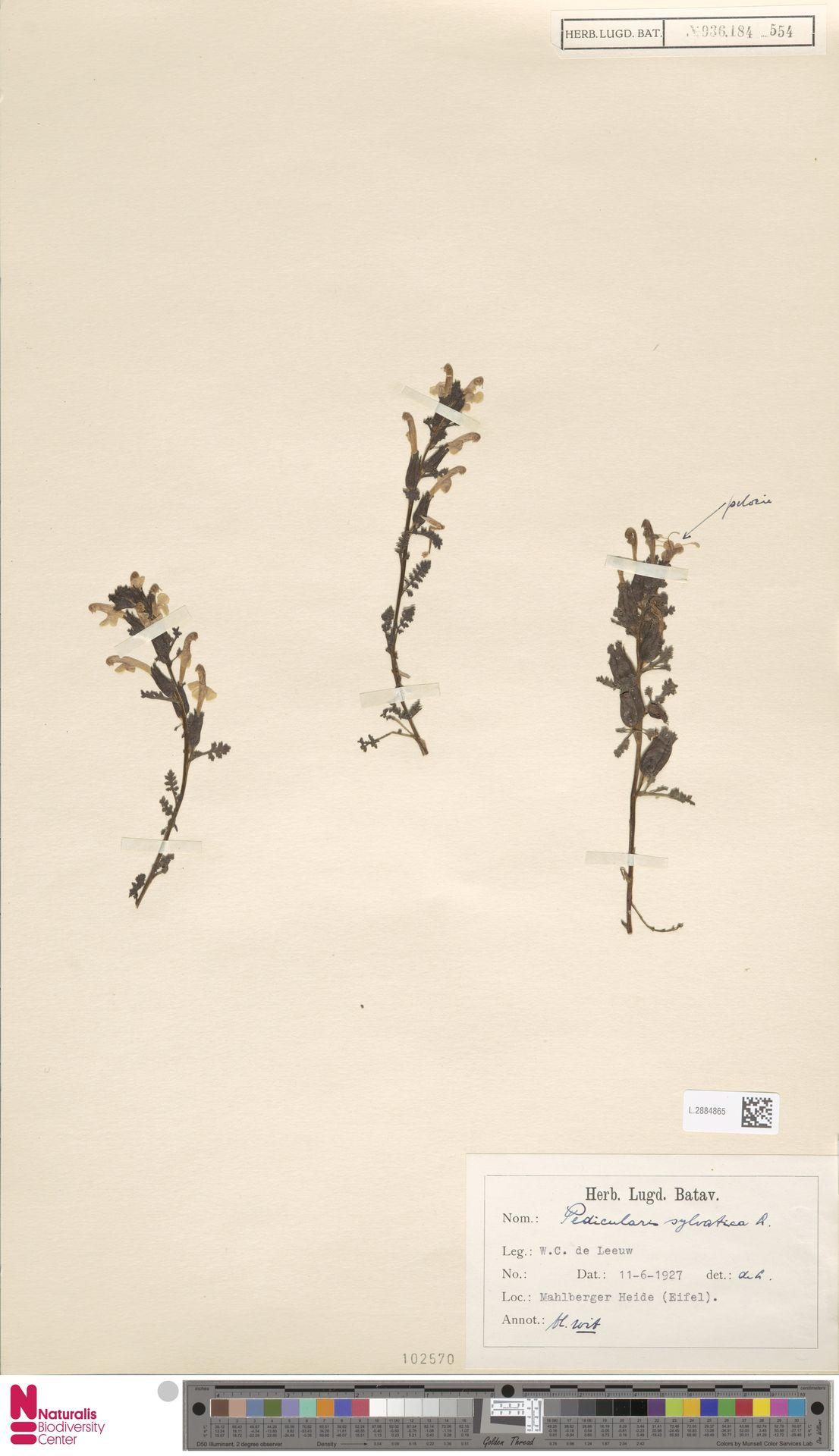 L.2884865 | Pedicularis sylvatica L.