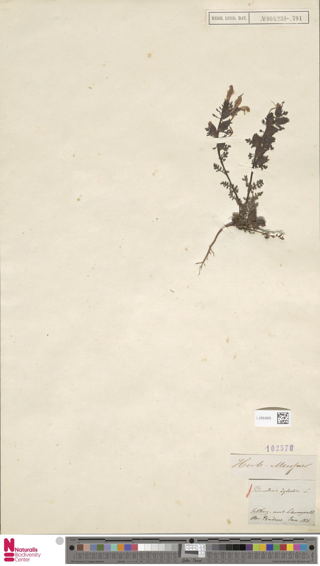 L.2884869 | Pedicularis sylvatica L.