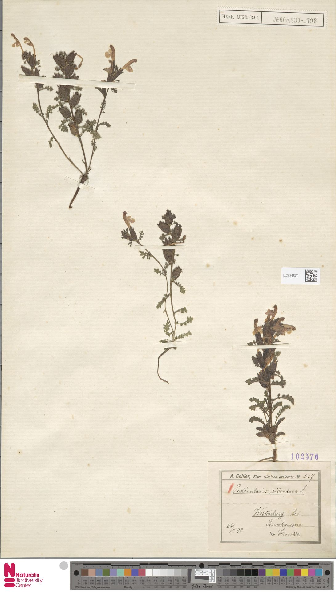 L.2884872 | Pedicularis sylvatica L.