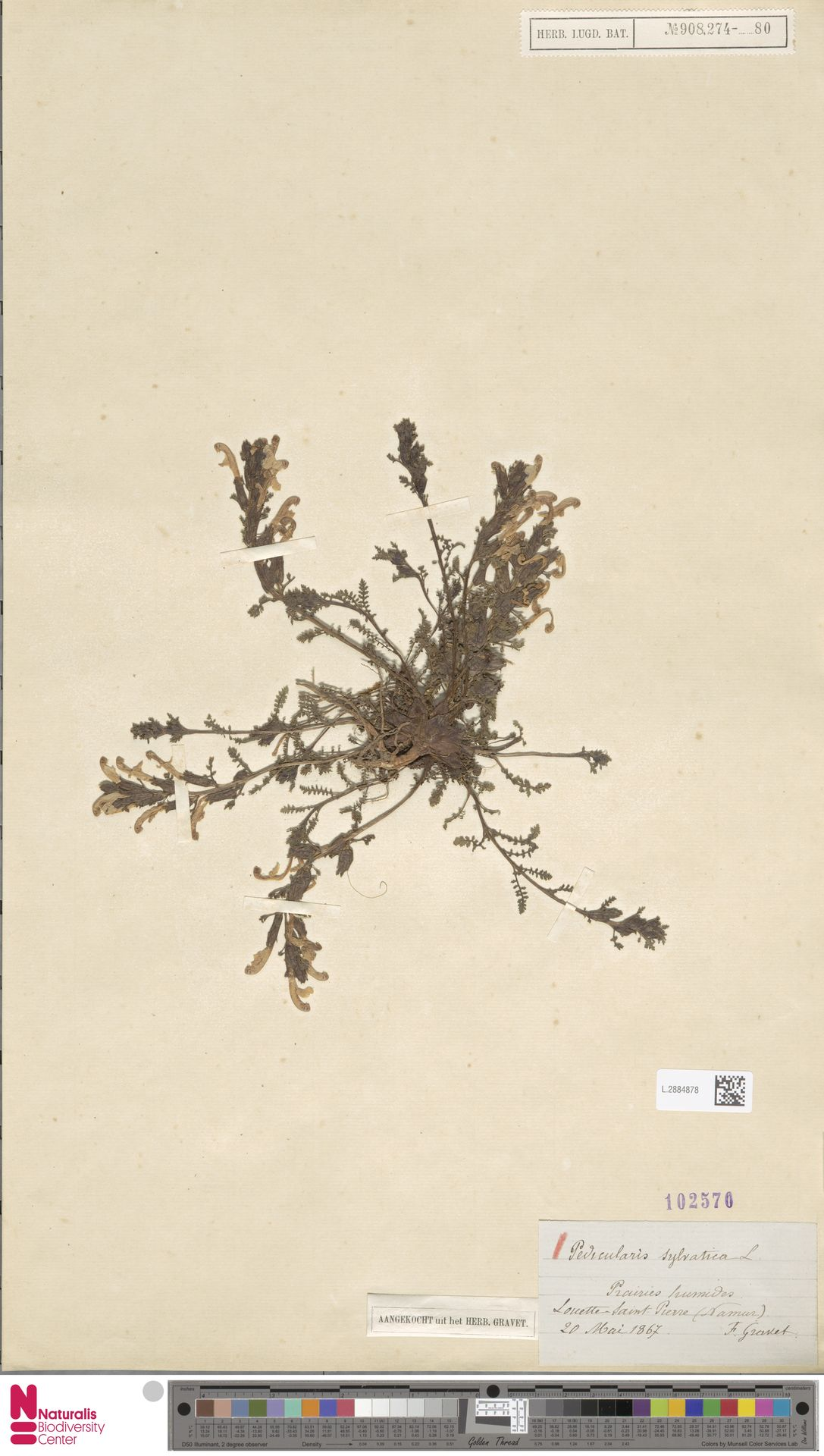 L.2884878 | Pedicularis sylvatica L.