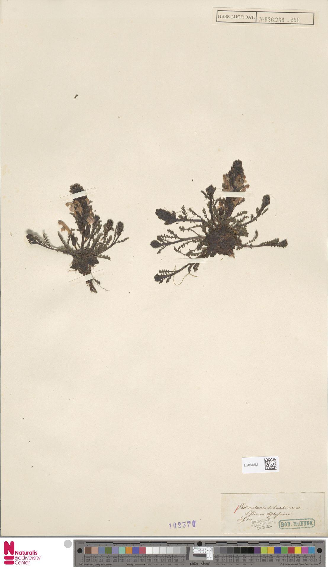 L.2884881 | Pedicularis sylvatica L.