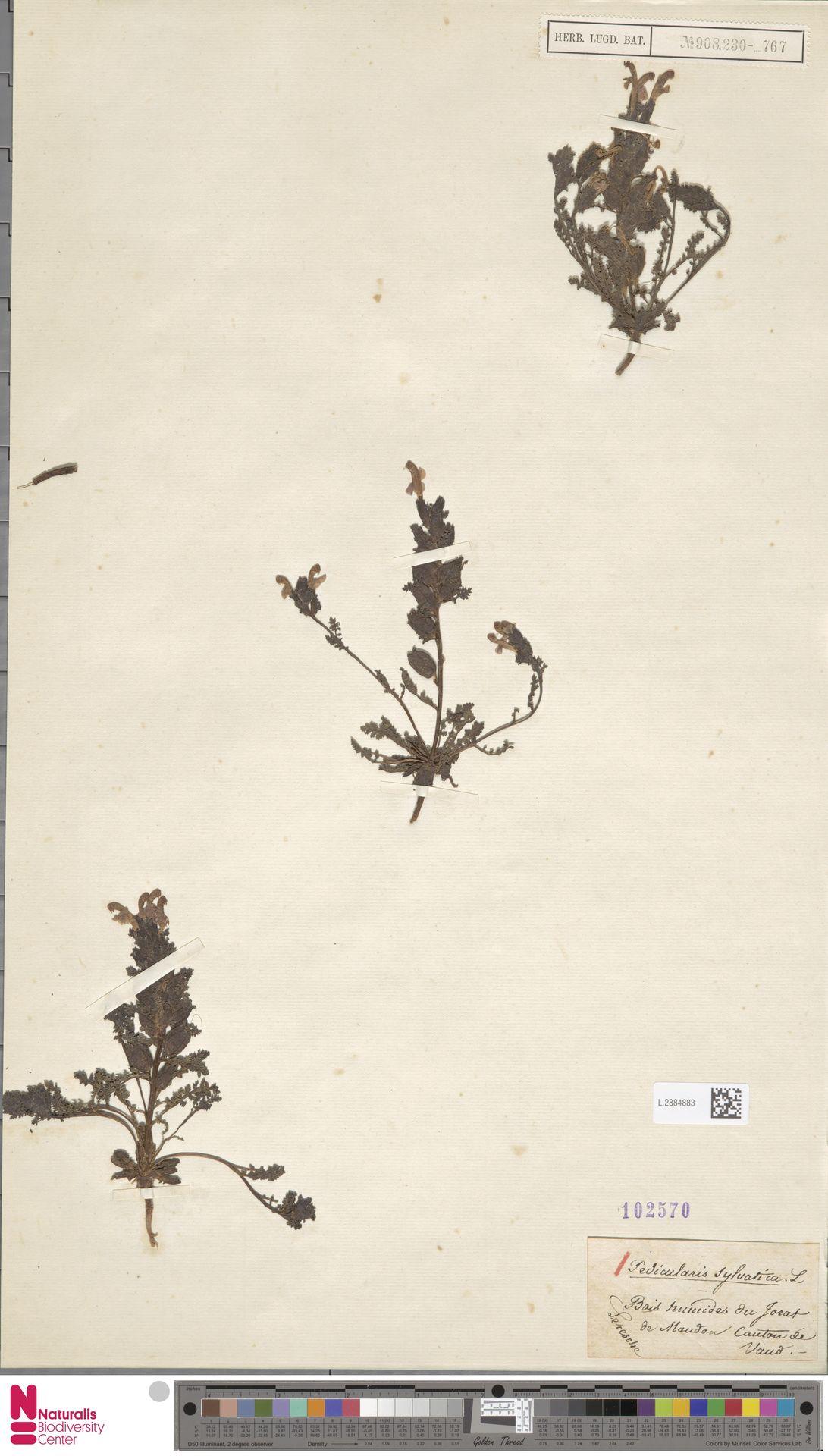 L.2884883 | Pedicularis sylvatica L.