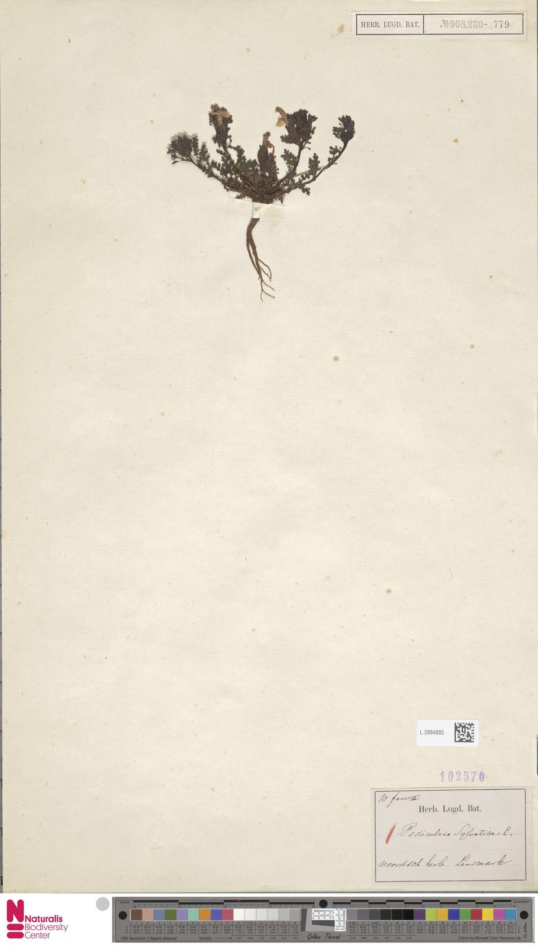 L.2884885 | Pedicularis sylvatica L.