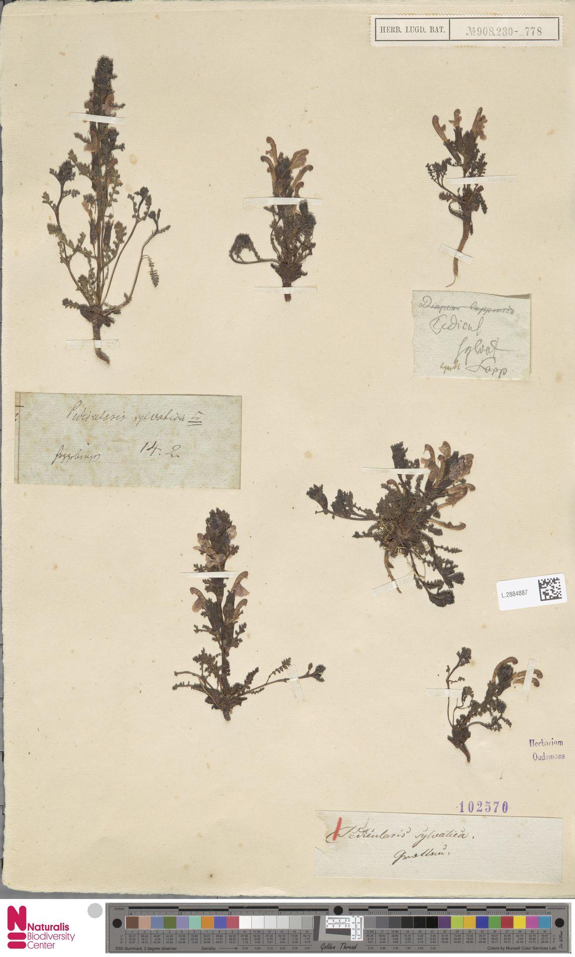L.2884887 | Pedicularis sylvatica L.