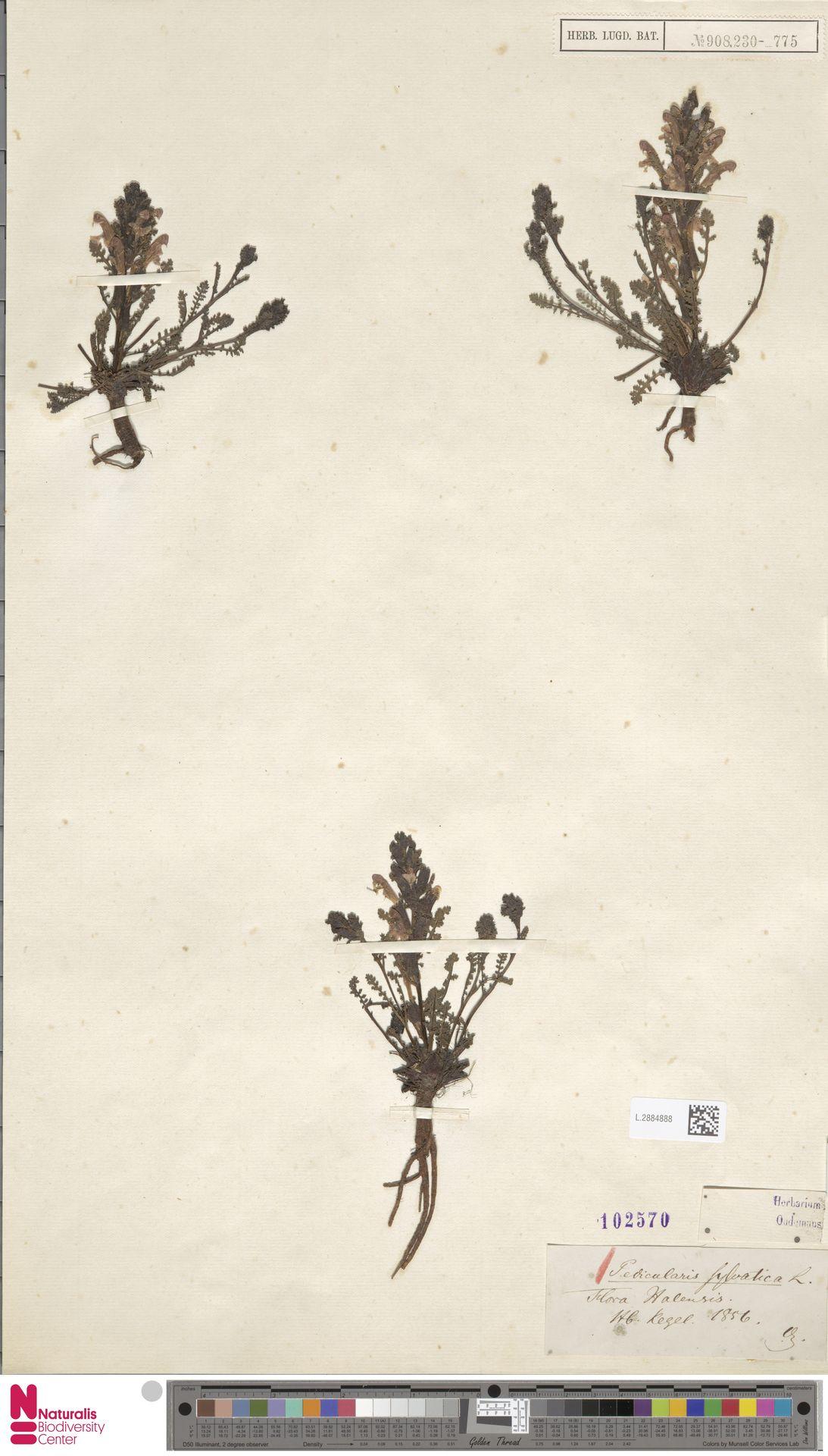 L.2884888 | Pedicularis sylvatica L.
