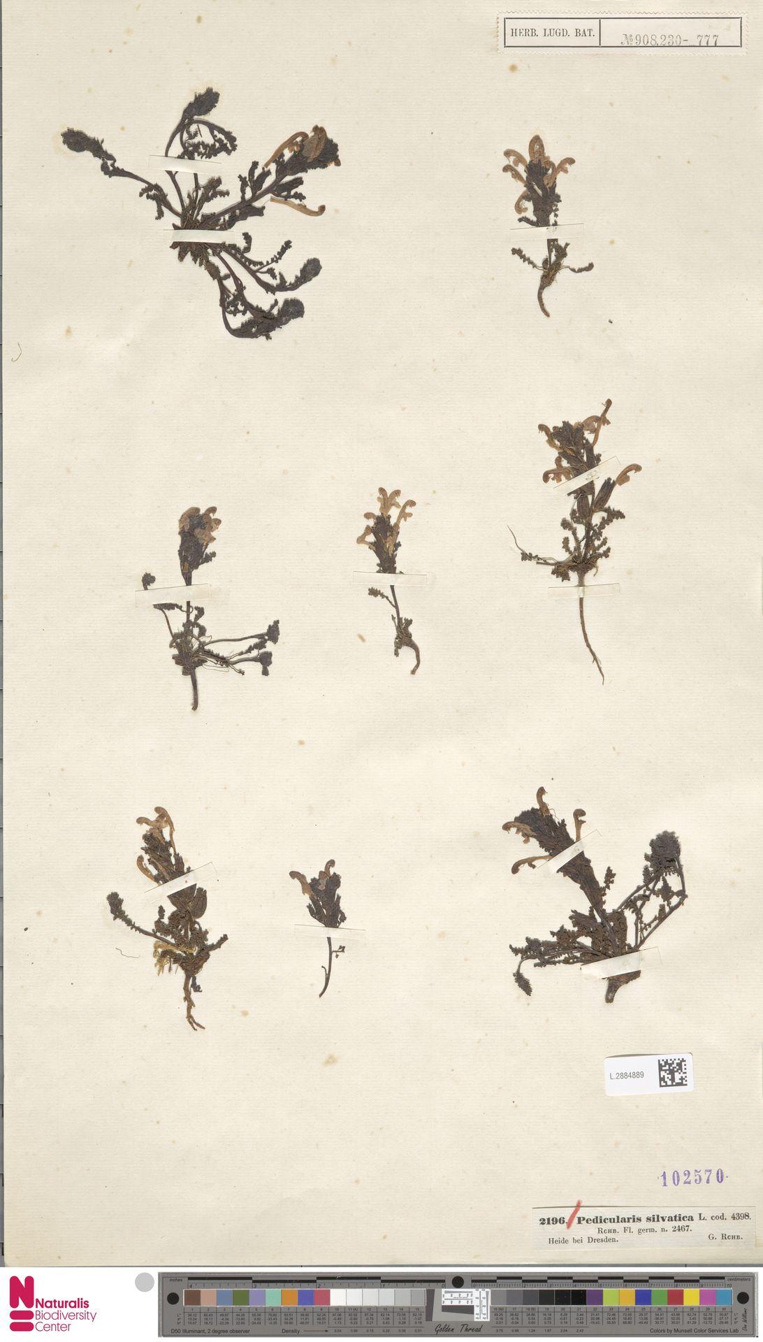 L.2884889 | Pedicularis sylvatica L.