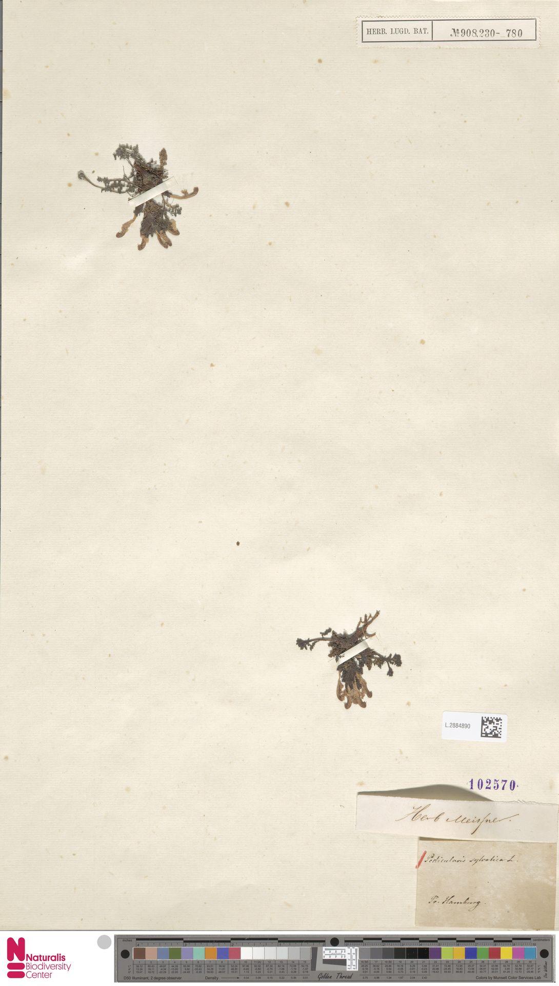 L.2884890 | Pedicularis sylvatica L.