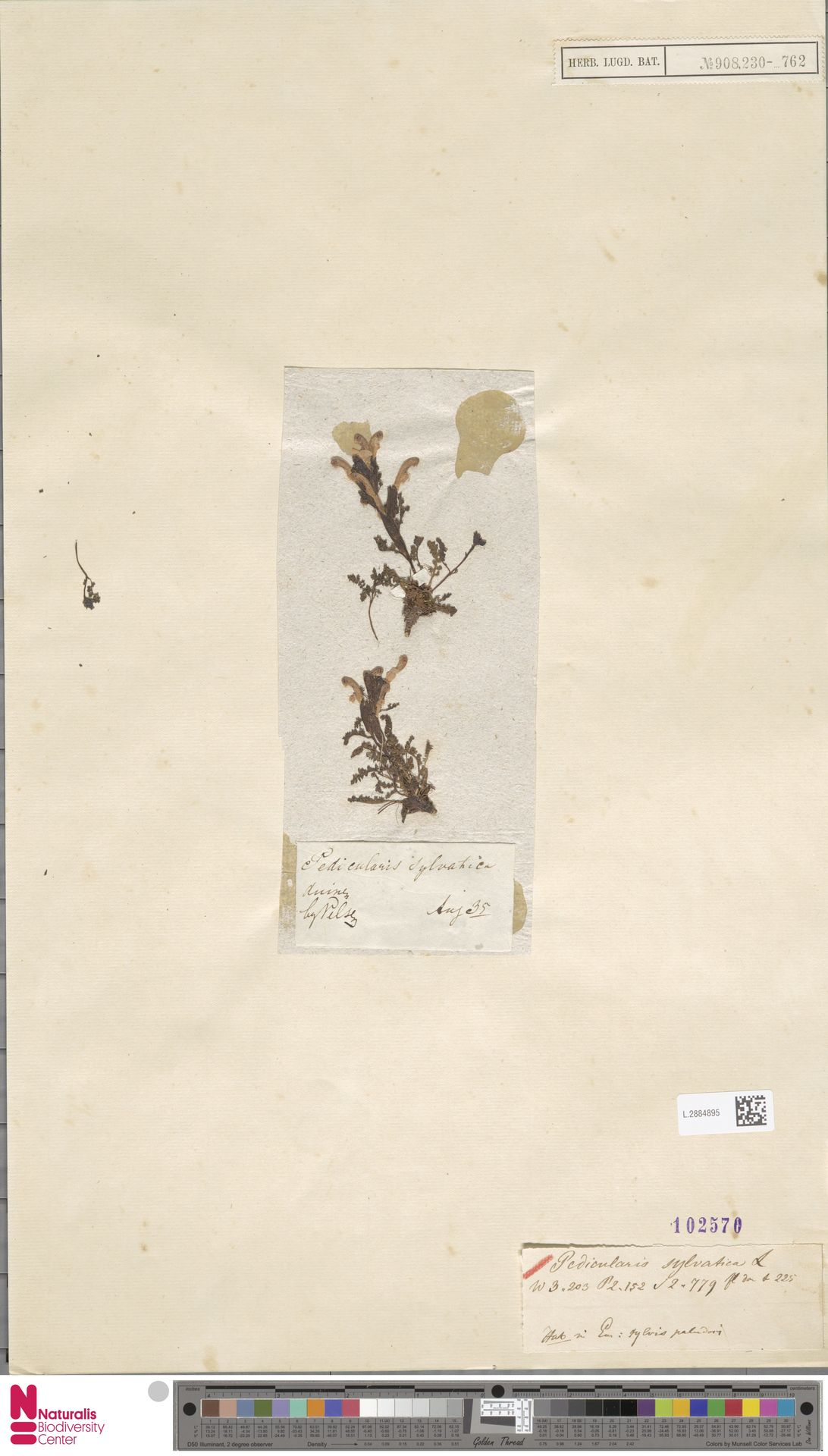 L.2884895 | Pedicularis sylvatica L.