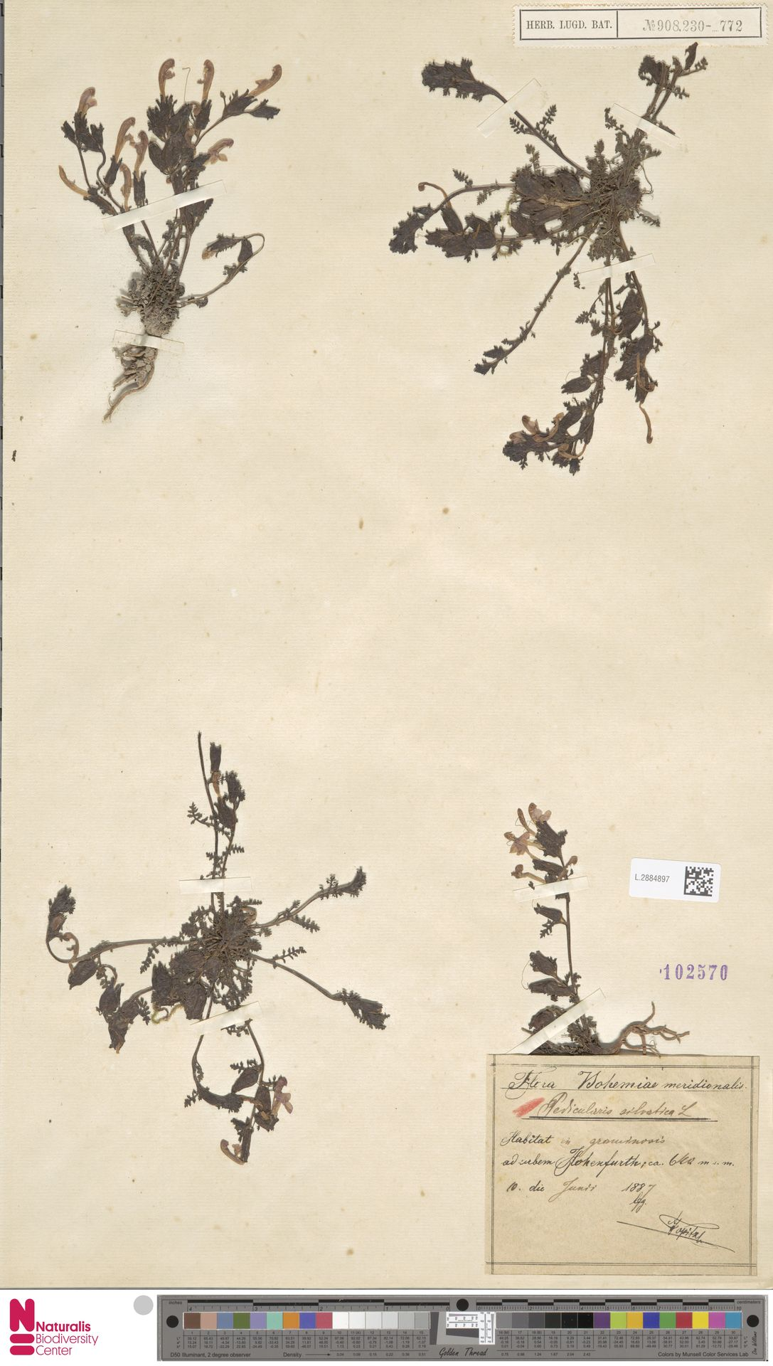 L.2884897 | Pedicularis sylvatica L.
