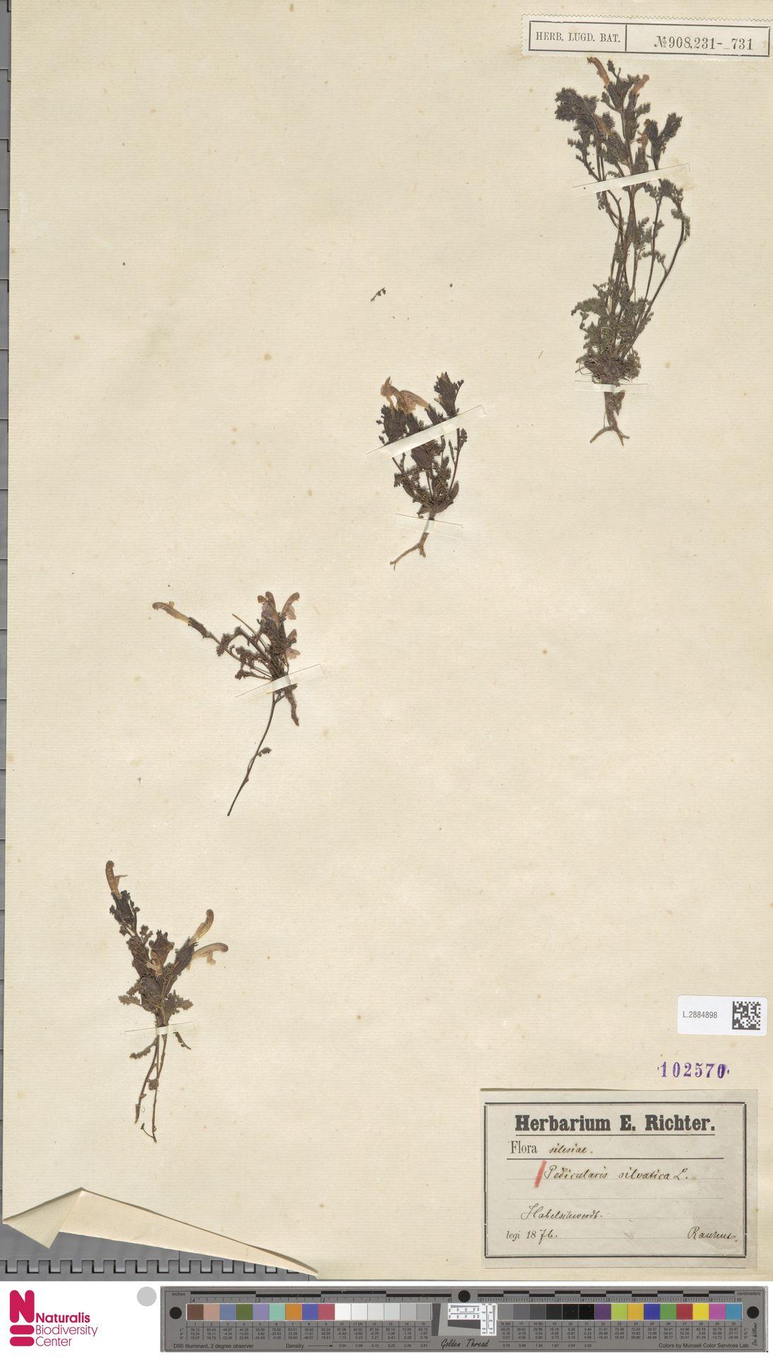 L.2884898 | Pedicularis sylvatica L.
