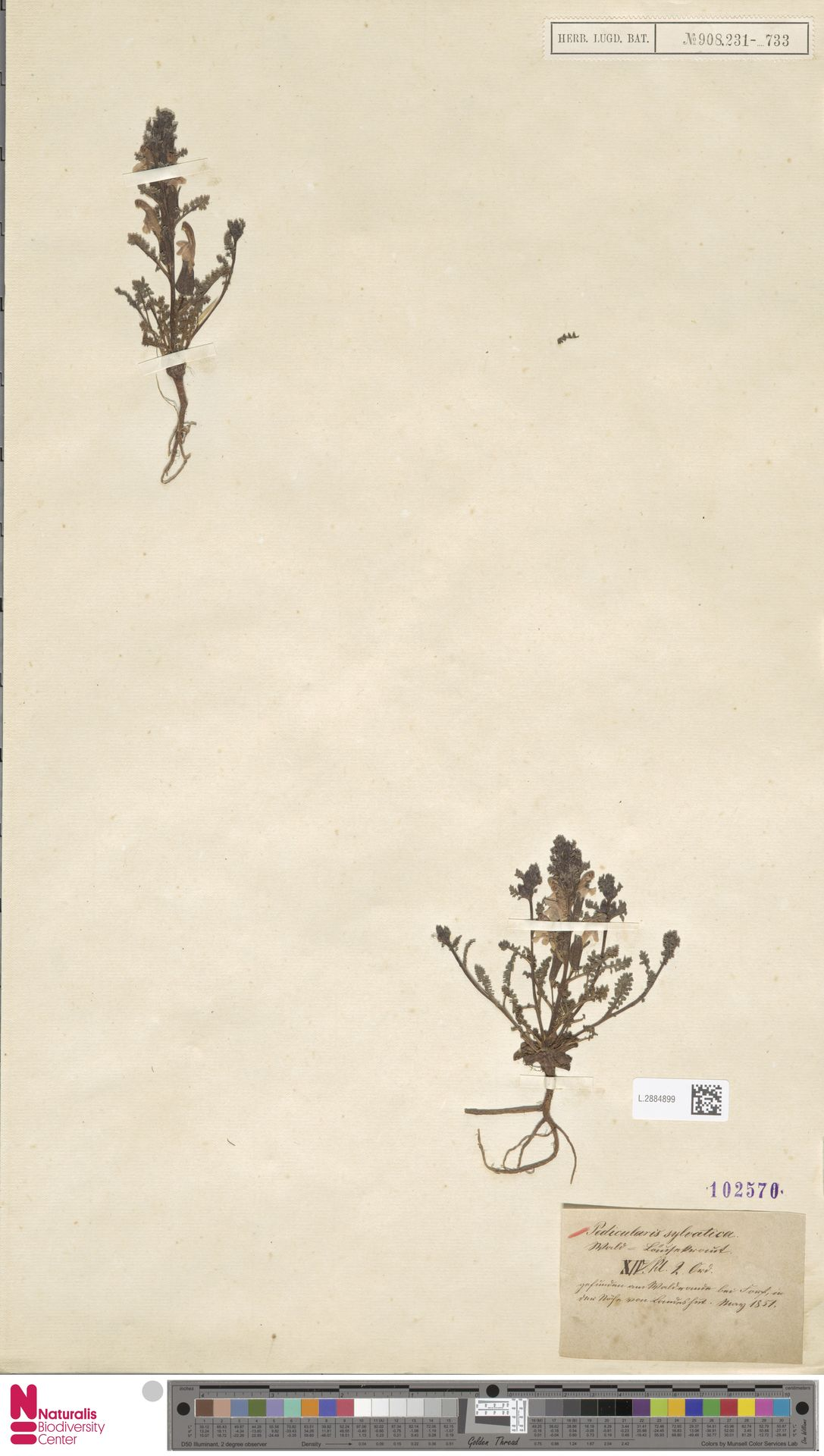 L.2884899 | Pedicularis sylvatica L.
