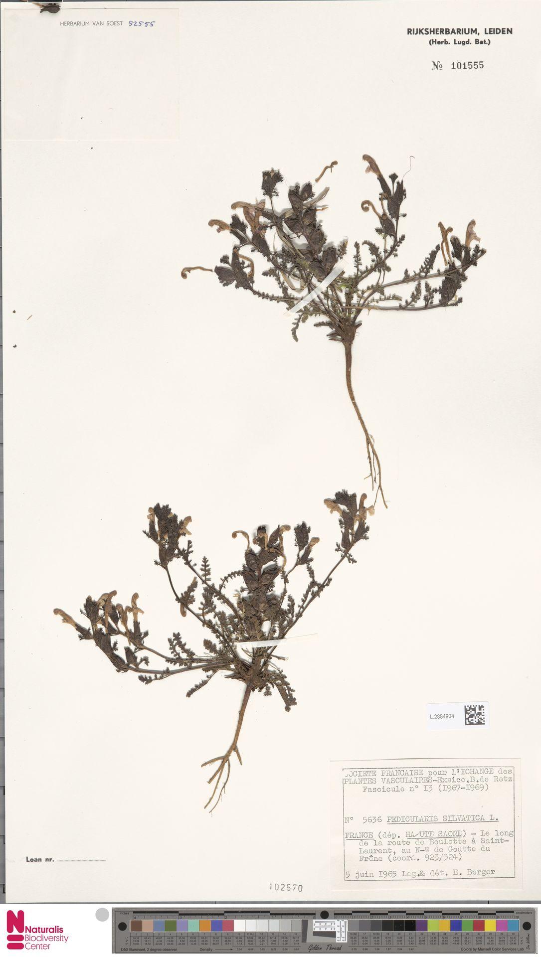 L.2884904 | Pedicularis sylvatica L.