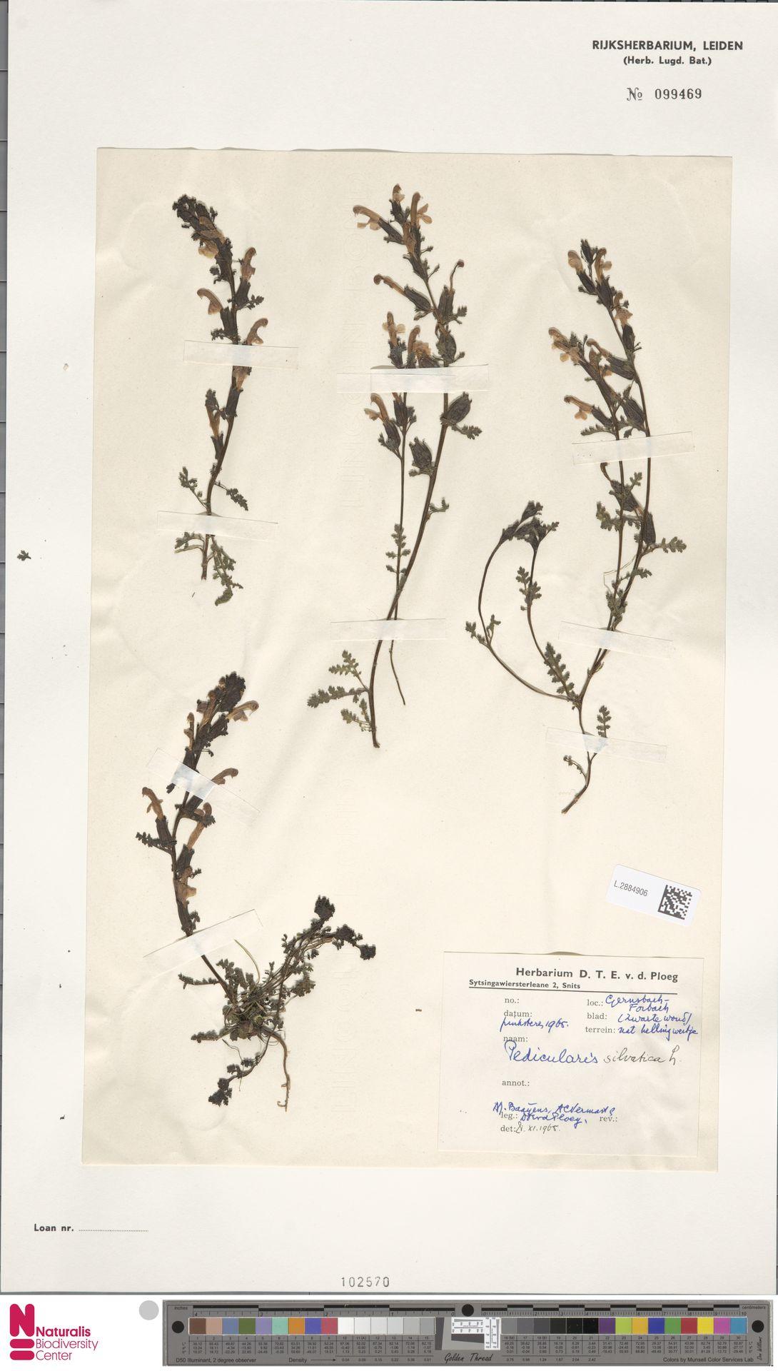 L.2884906 | Pedicularis sylvatica L.