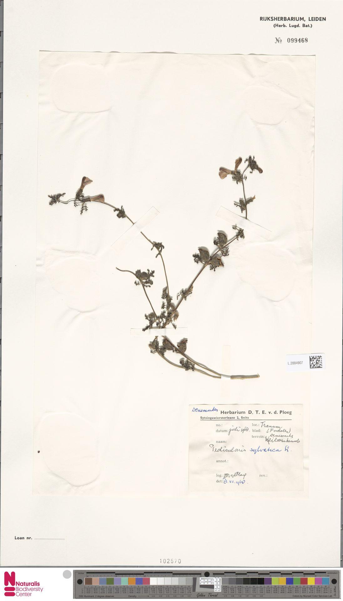 L.2884907 | Pedicularis sylvatica L.