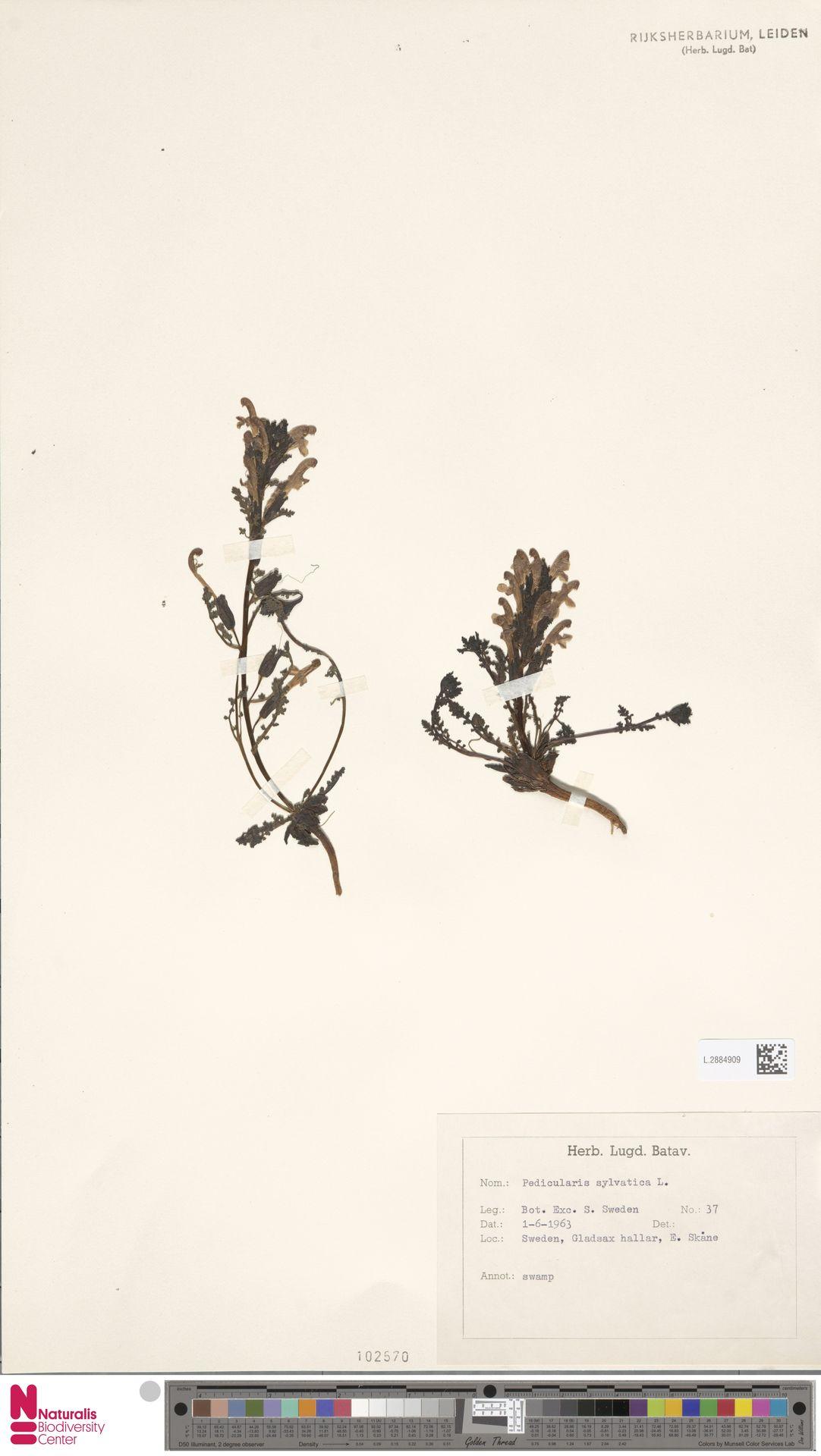 L.2884909 | Pedicularis sylvatica L.