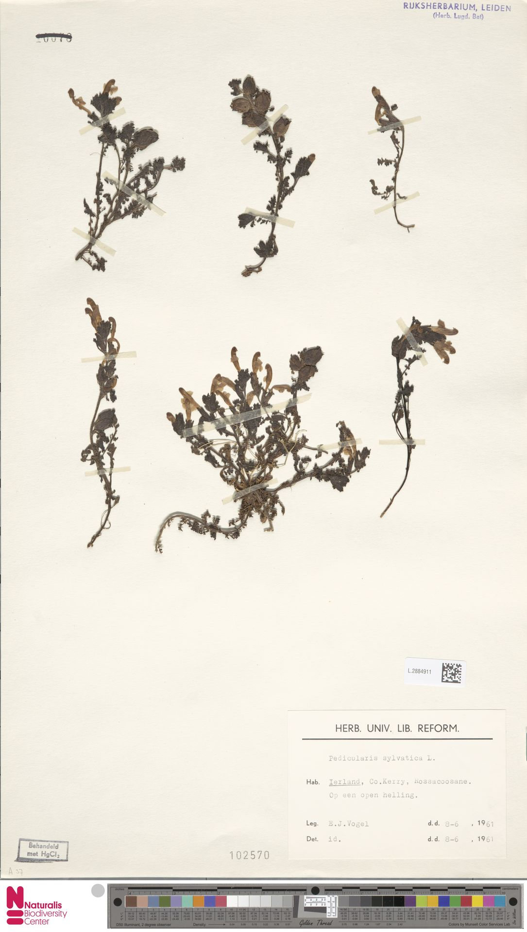 L.2884911 | Pedicularis sylvatica L.