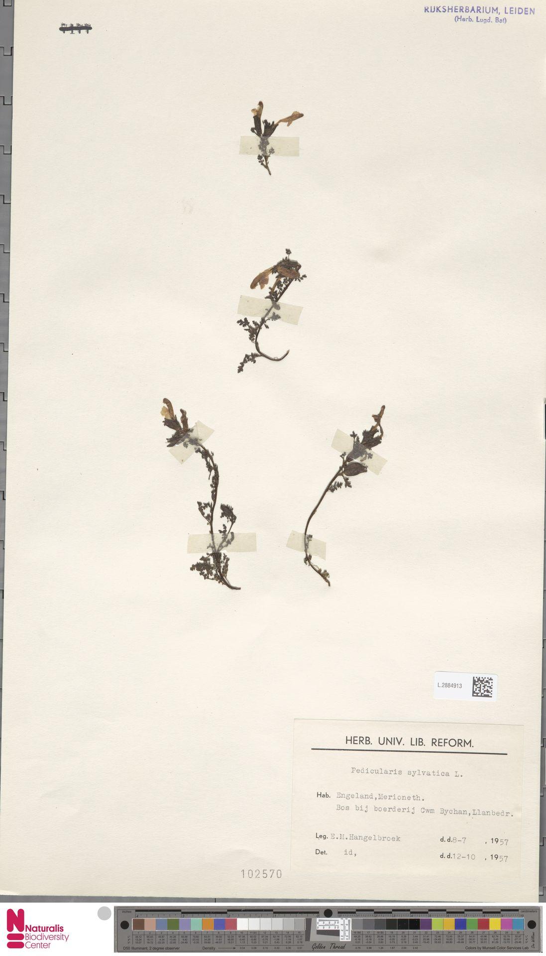 L.2884913 | Pedicularis sylvatica L.