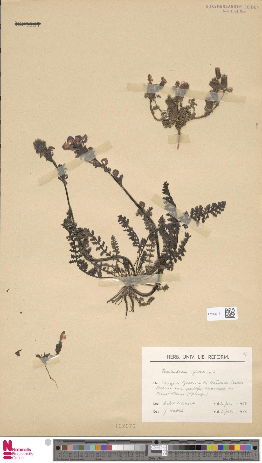 L.2884914 | Pedicularis sylvatica L.