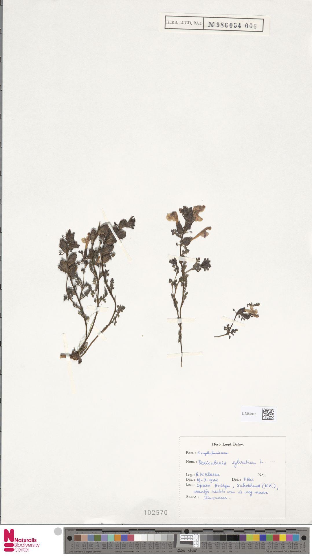 L.2884916 | Pedicularis sylvatica L.