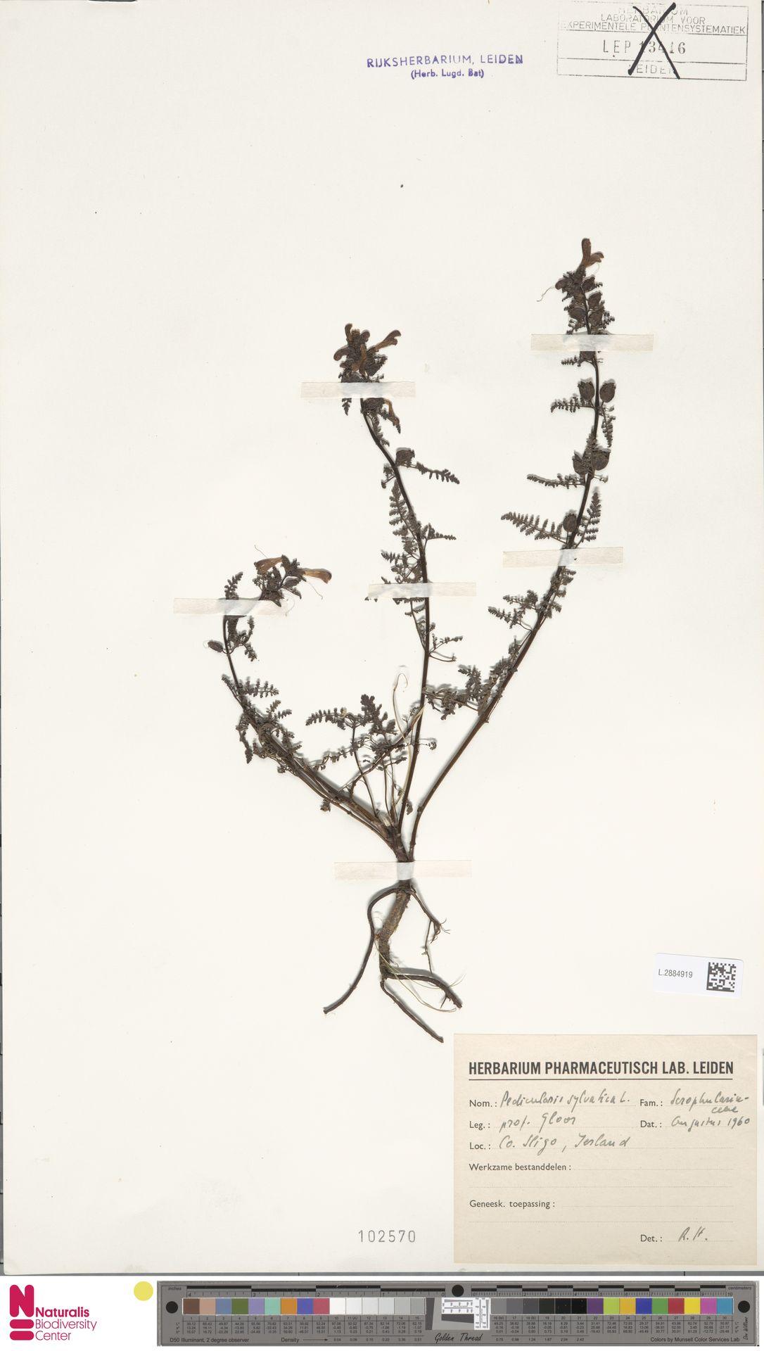 L.2884919 | Pedicularis sylvatica L.