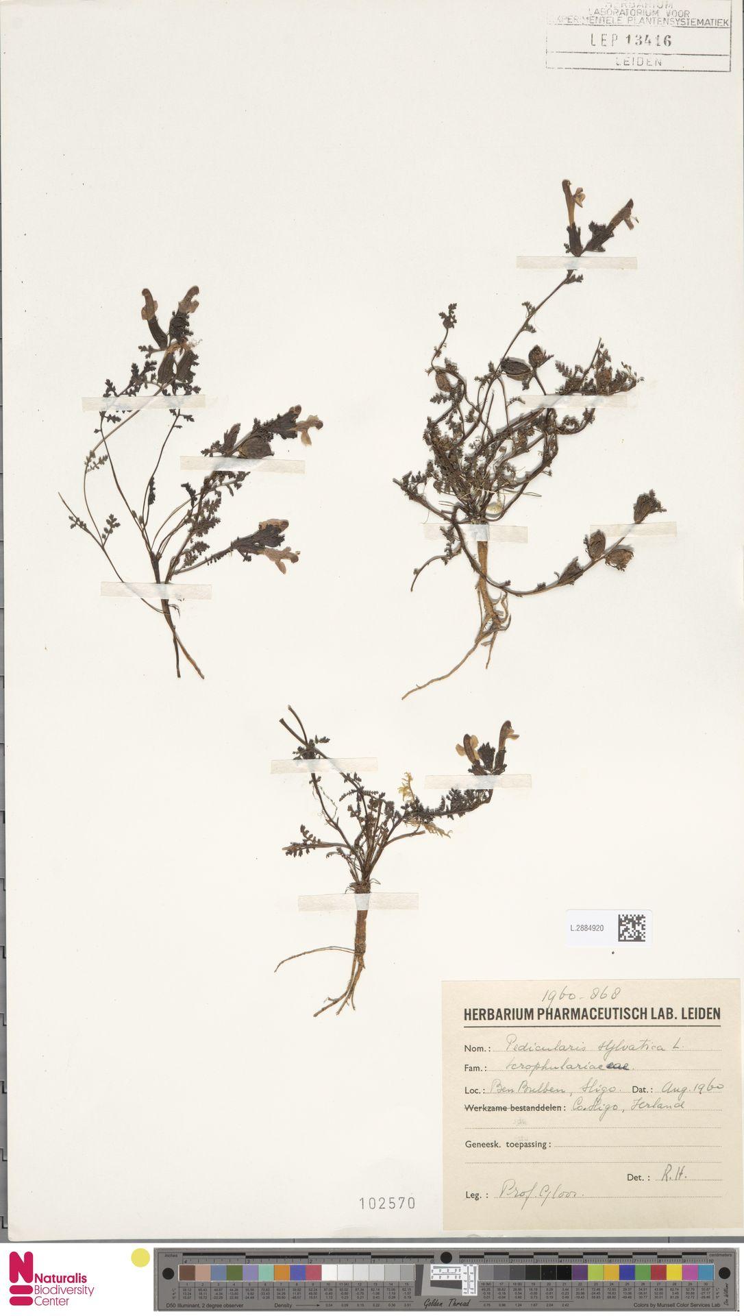L.2884920 | Pedicularis sylvatica L.