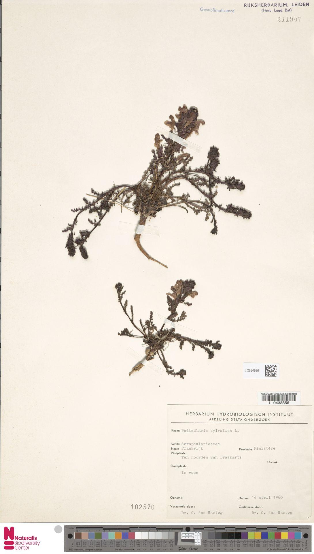 L.2884926 | Pedicularis sylvatica L.