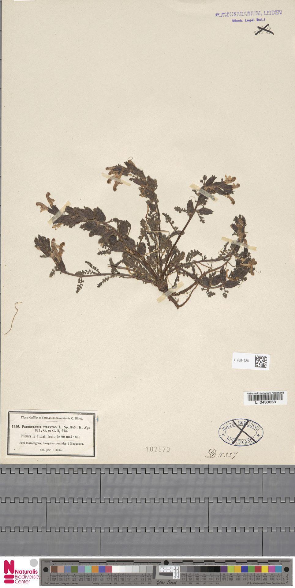L.2884928 | Pedicularis sylvatica L.