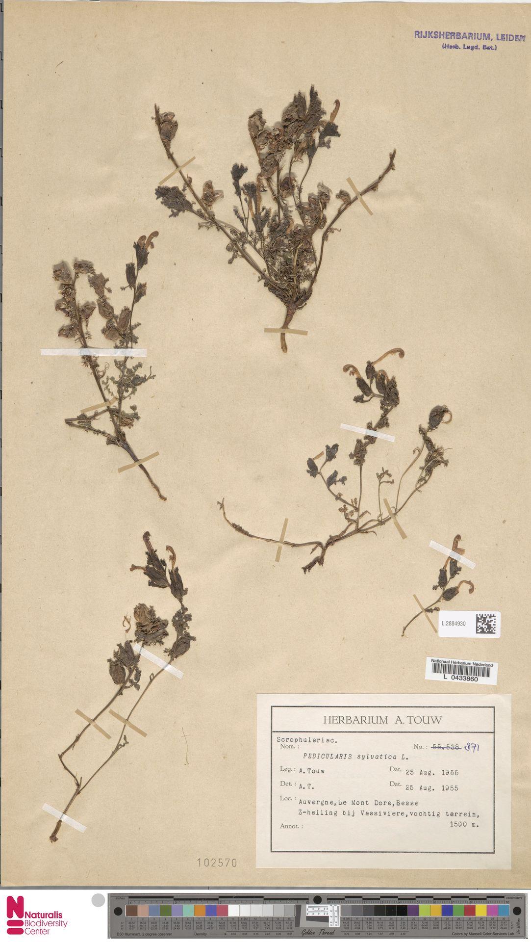 L.2884930 | Pedicularis sylvatica L.