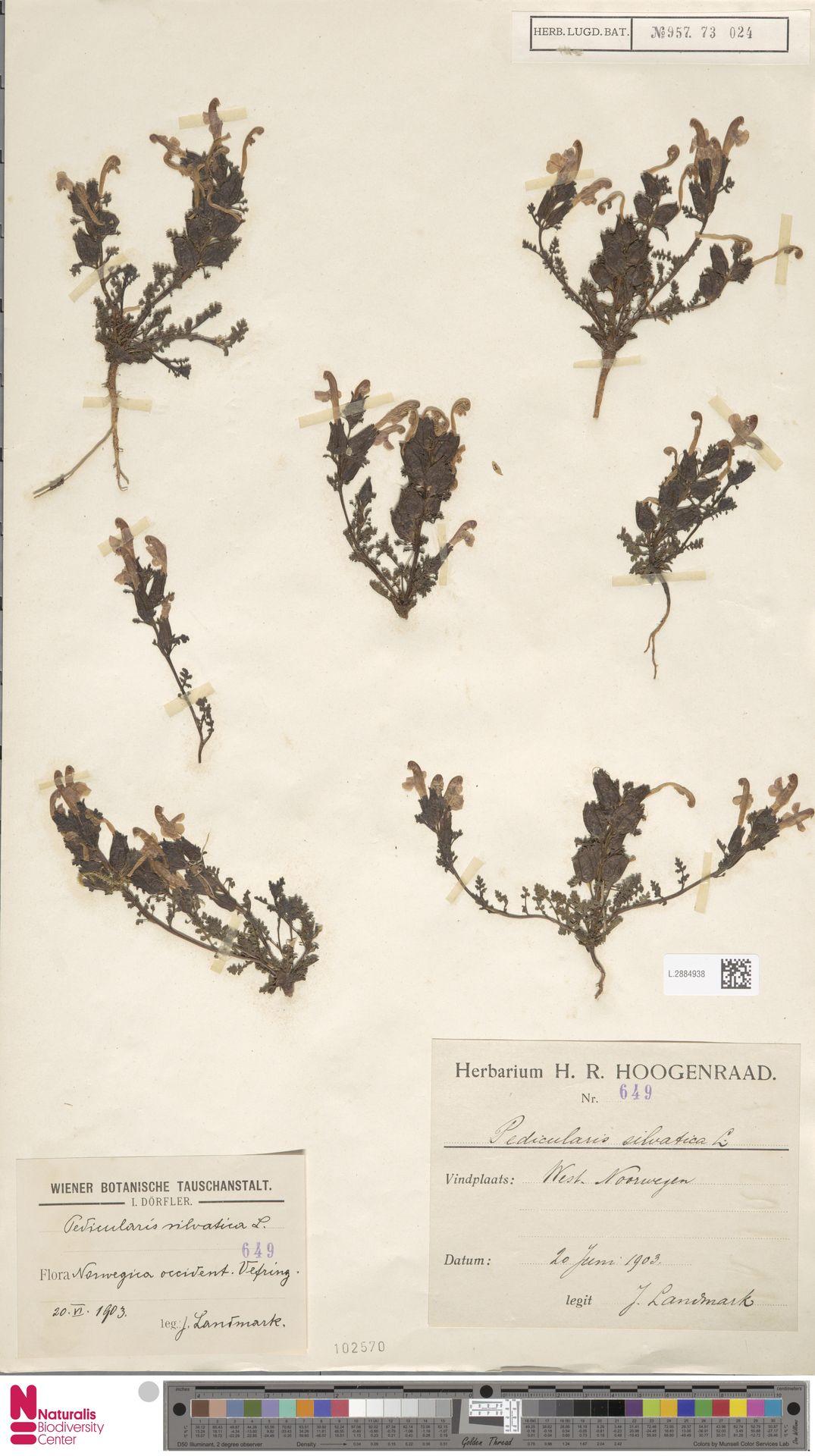 L.2884938 | Pedicularis sylvatica L.