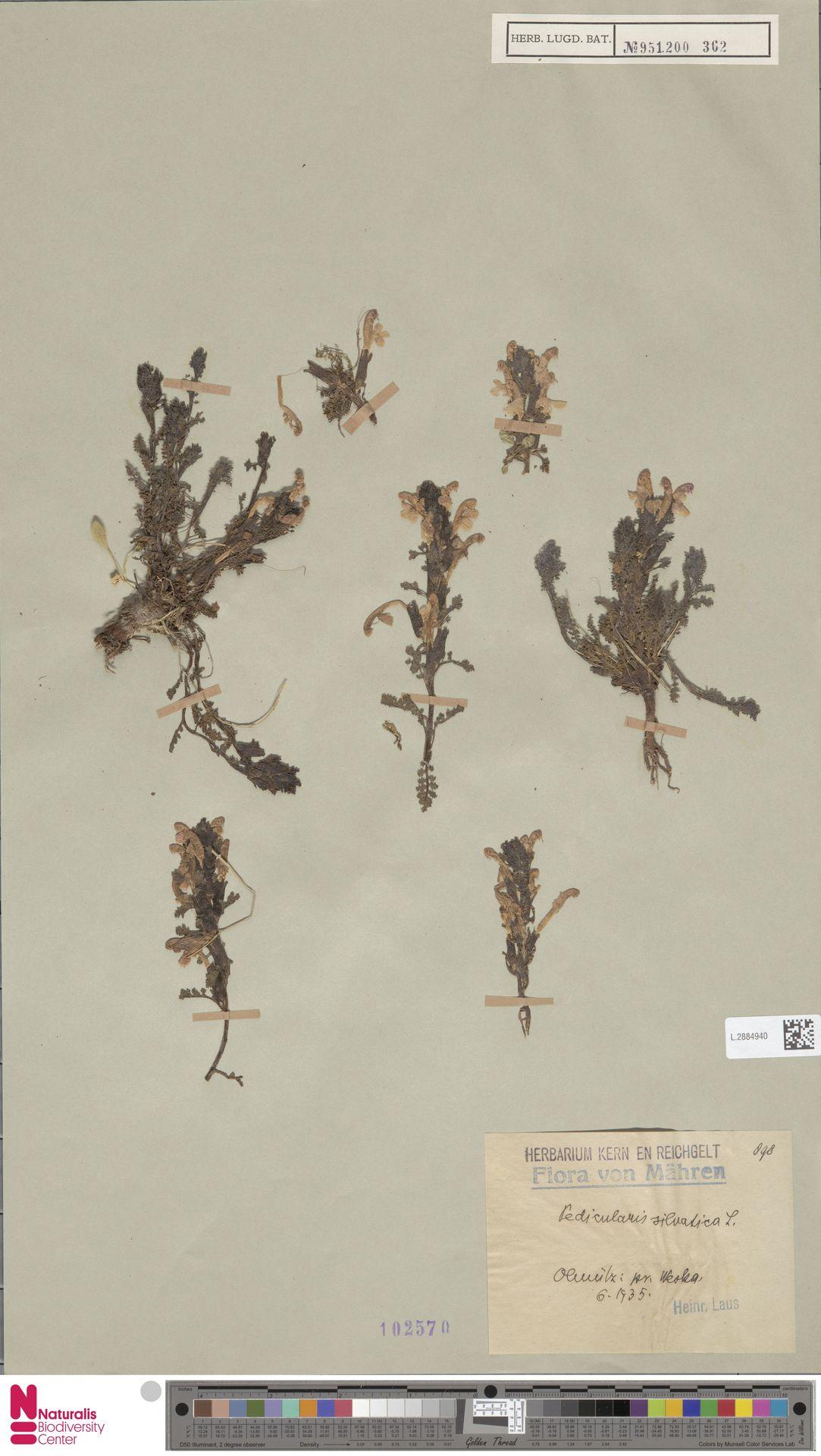 L.2884940   Pedicularis sylvatica L.