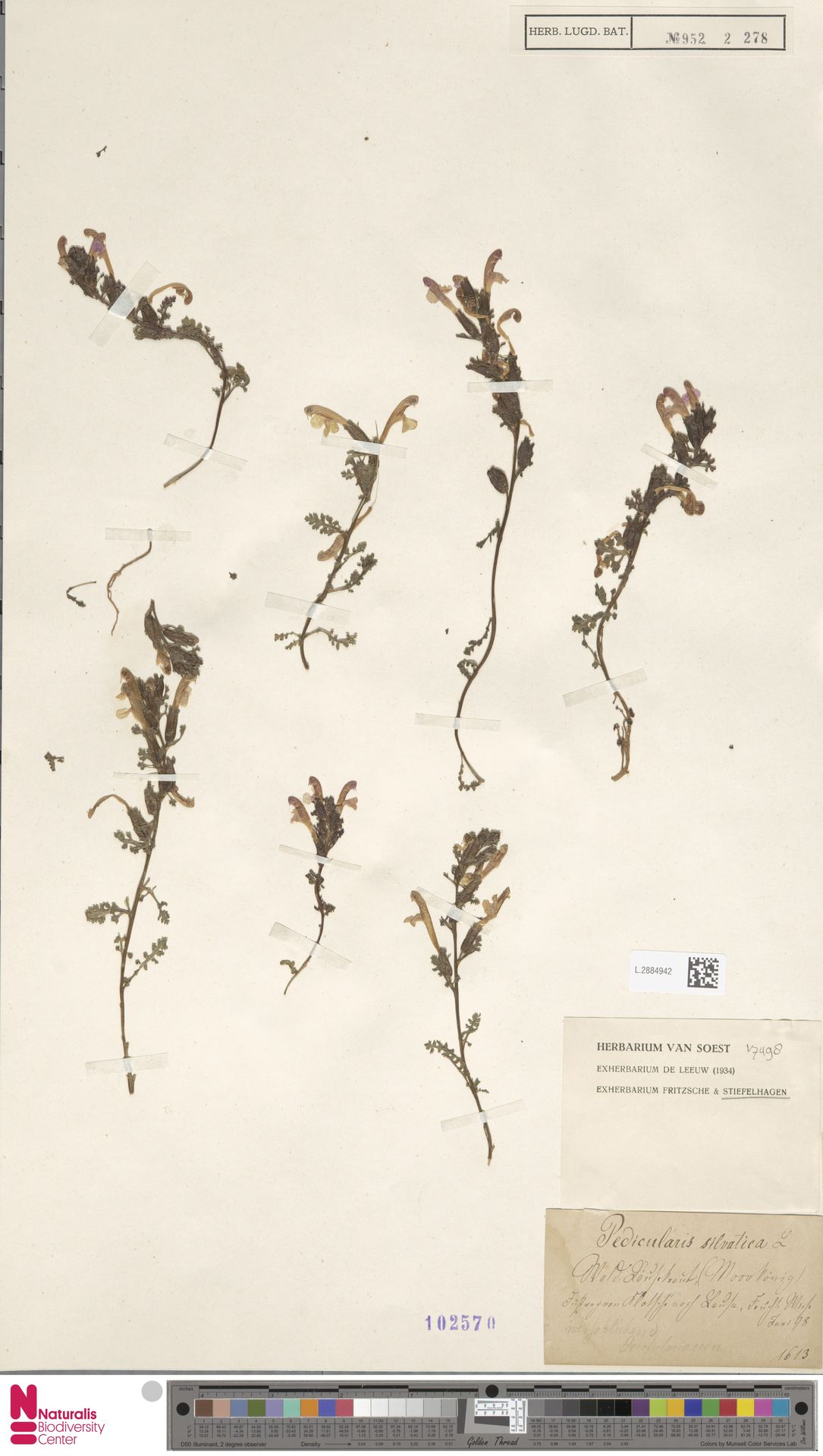 L.2884942 | Pedicularis sylvatica L.