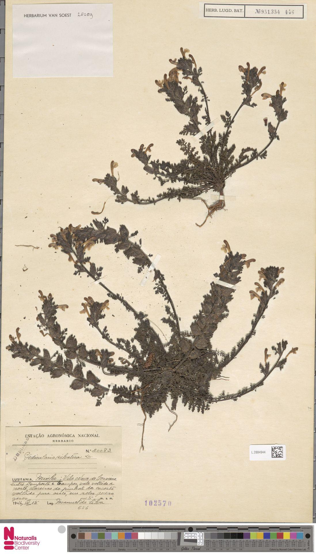 L.2884944 | Pedicularis sylvatica L.