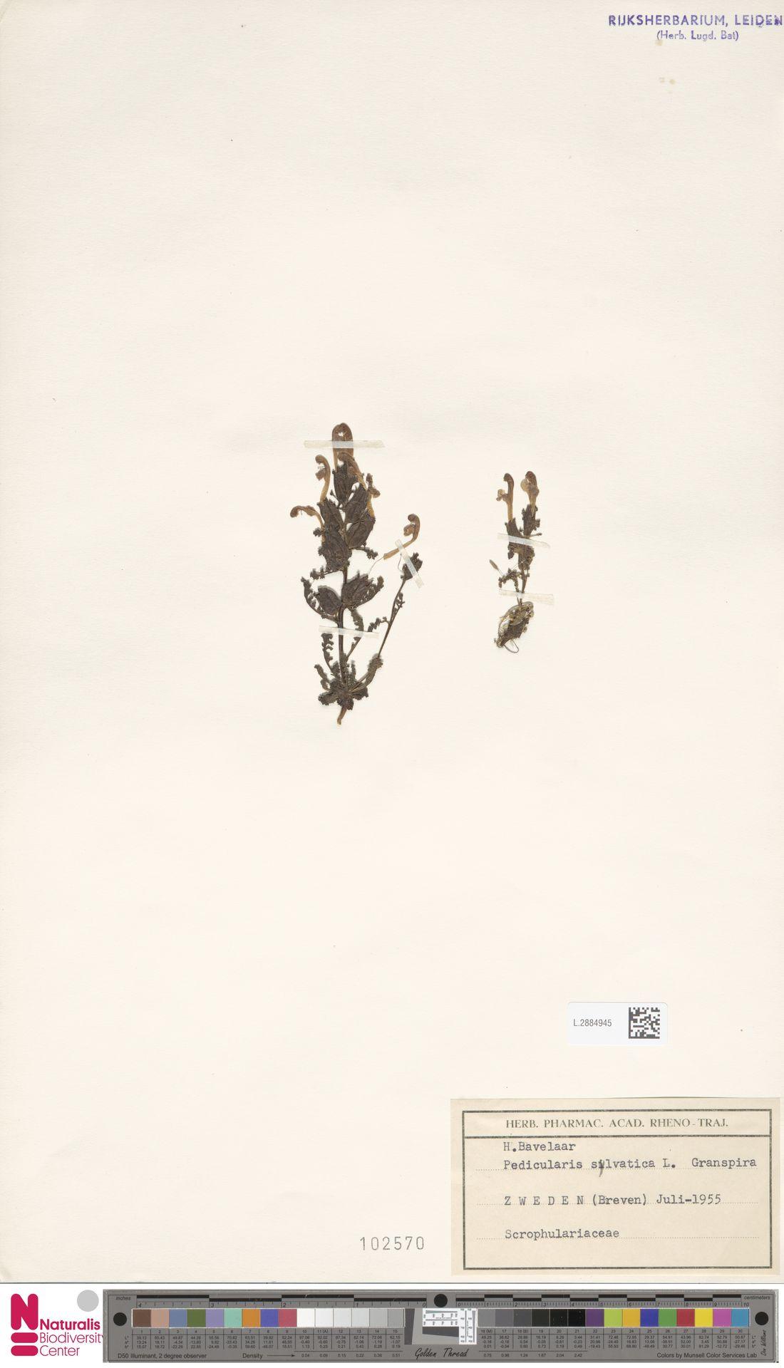 L.2884945 | Pedicularis sylvatica L.