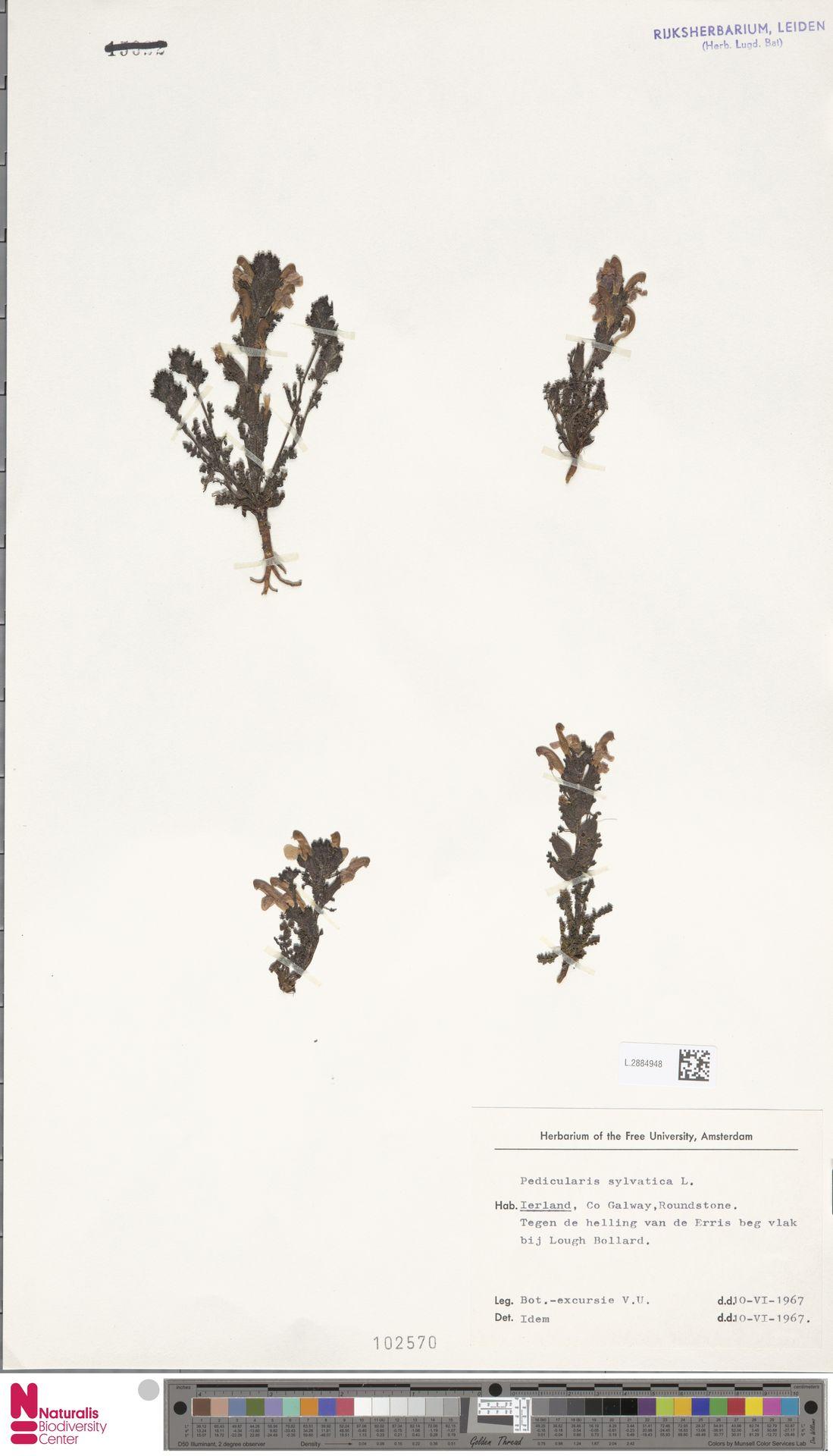 L.2884948 | Pedicularis sylvatica L.