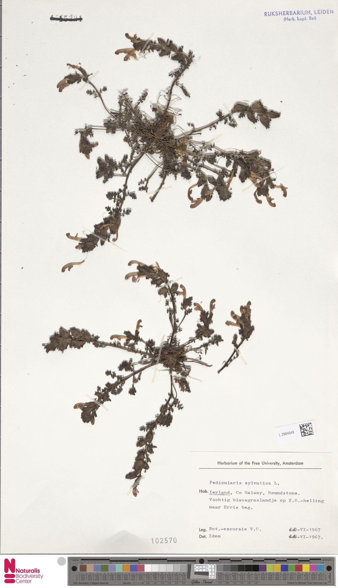 L.2884949 | Pedicularis sylvatica L.