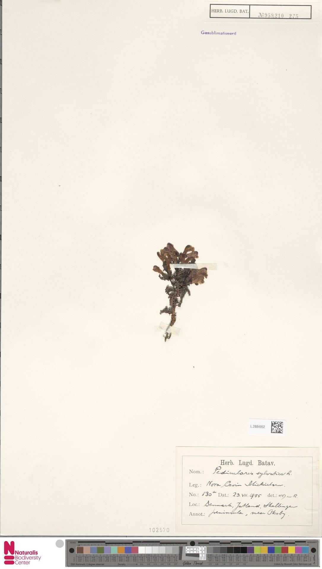 L.2884952   Pedicularis sylvatica L.