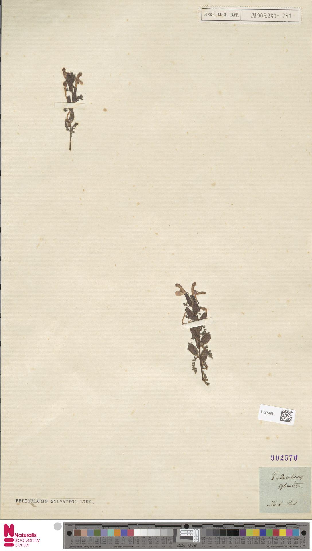 L.2884961 | Pedicularis sylvatica L.