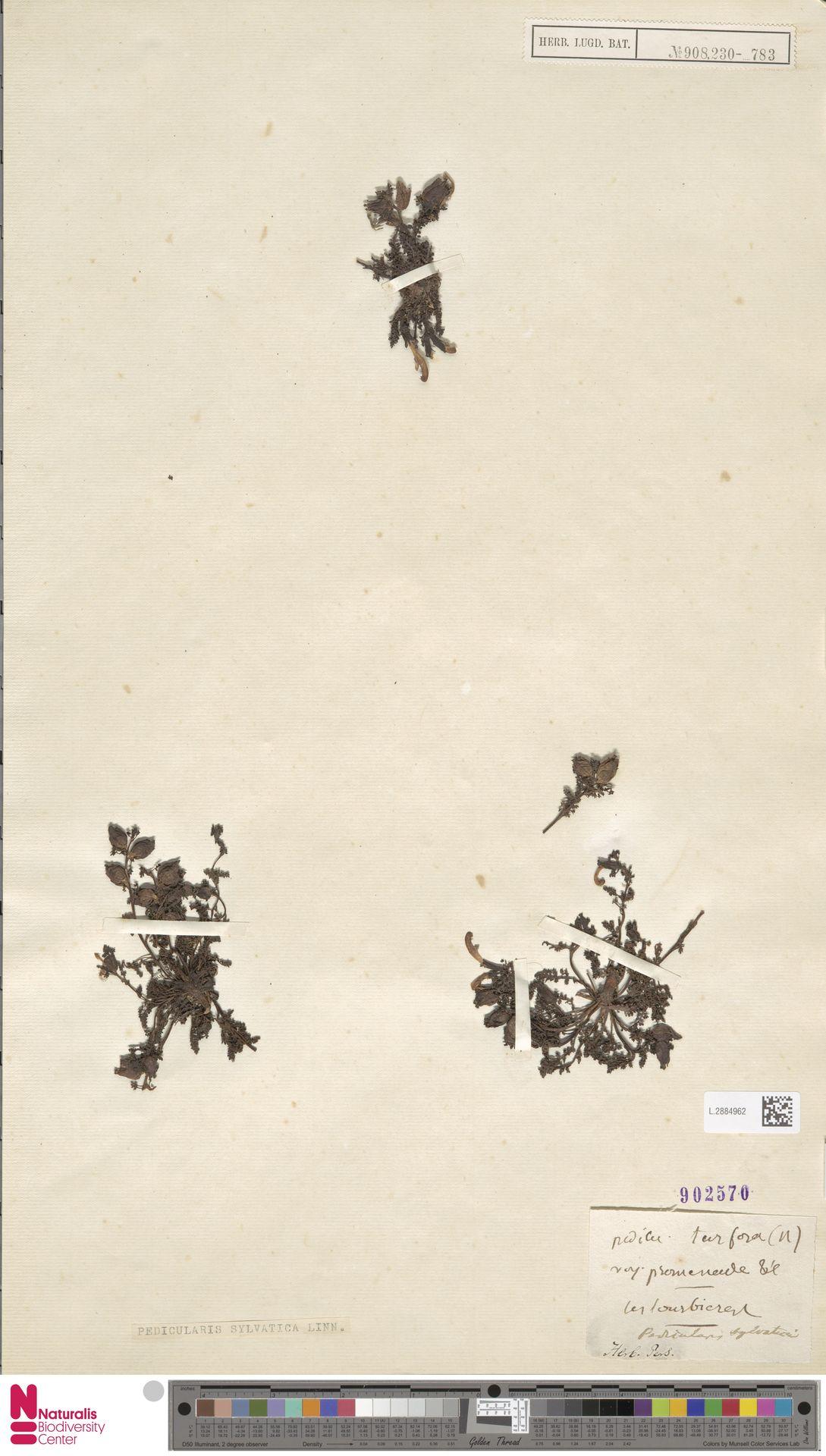 L.2884962 | Pedicularis sylvatica L.
