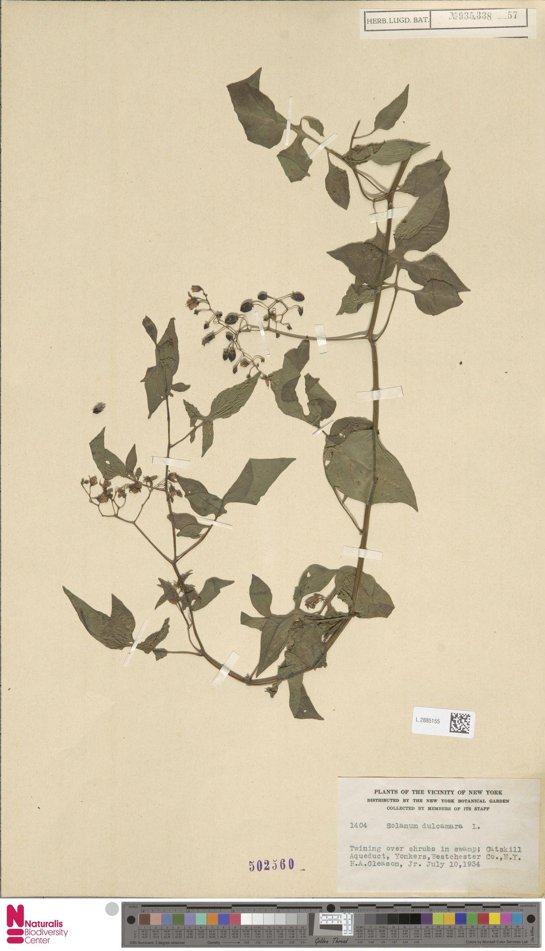 L.2885155 | Solanum dulcamara L.