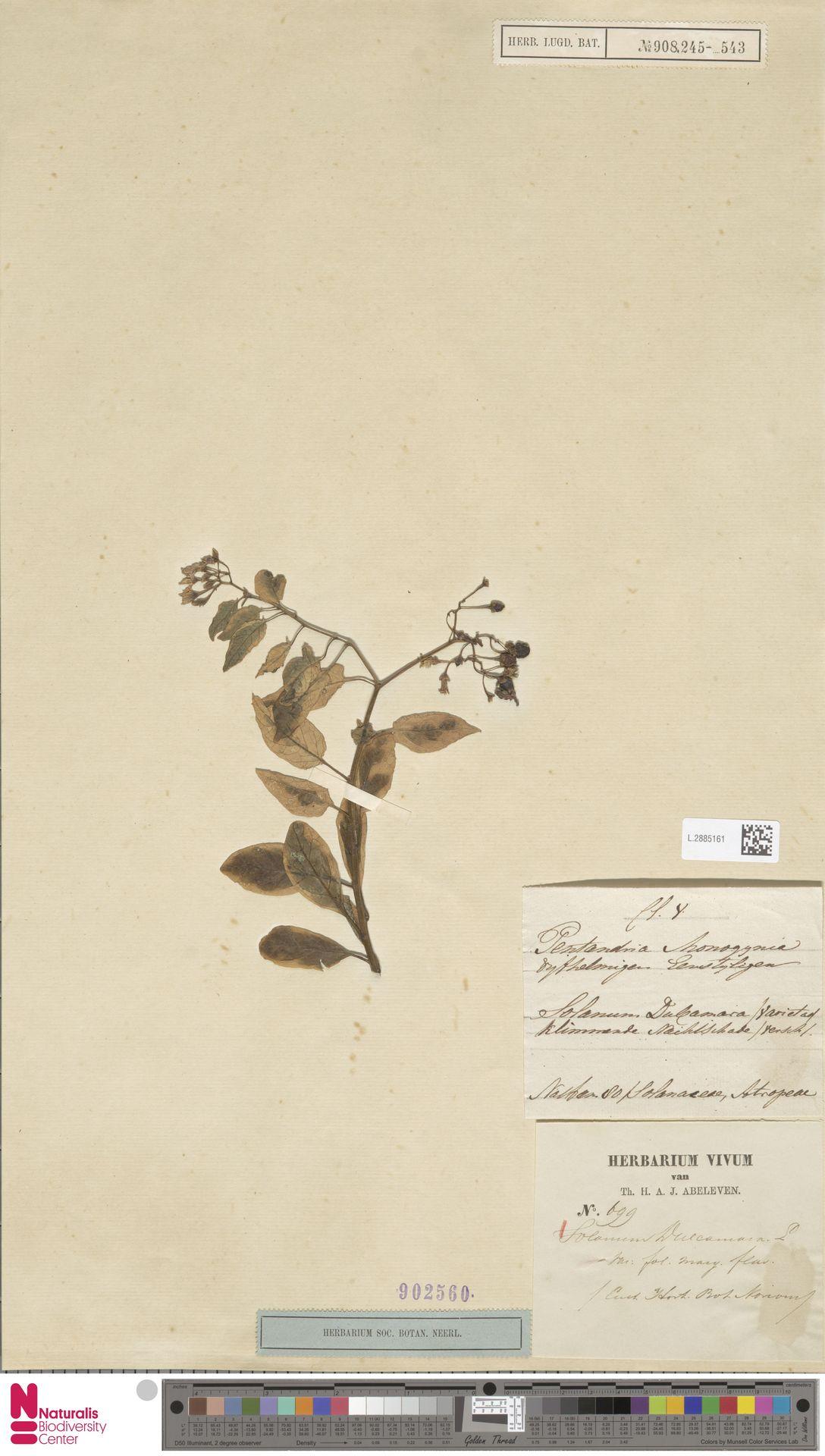 L.2885161 | Solanum dulcamara L.