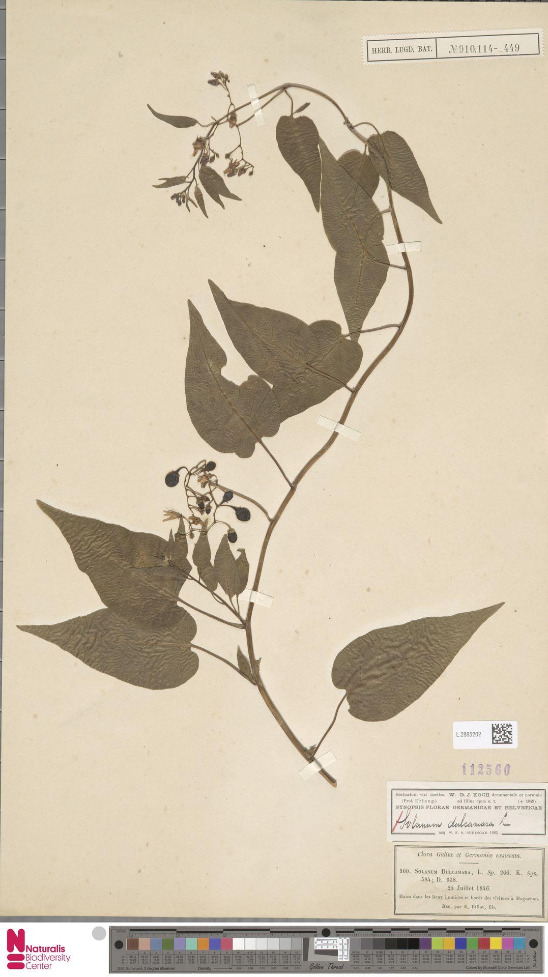 L.2885202 | Solanum dulcamara L.