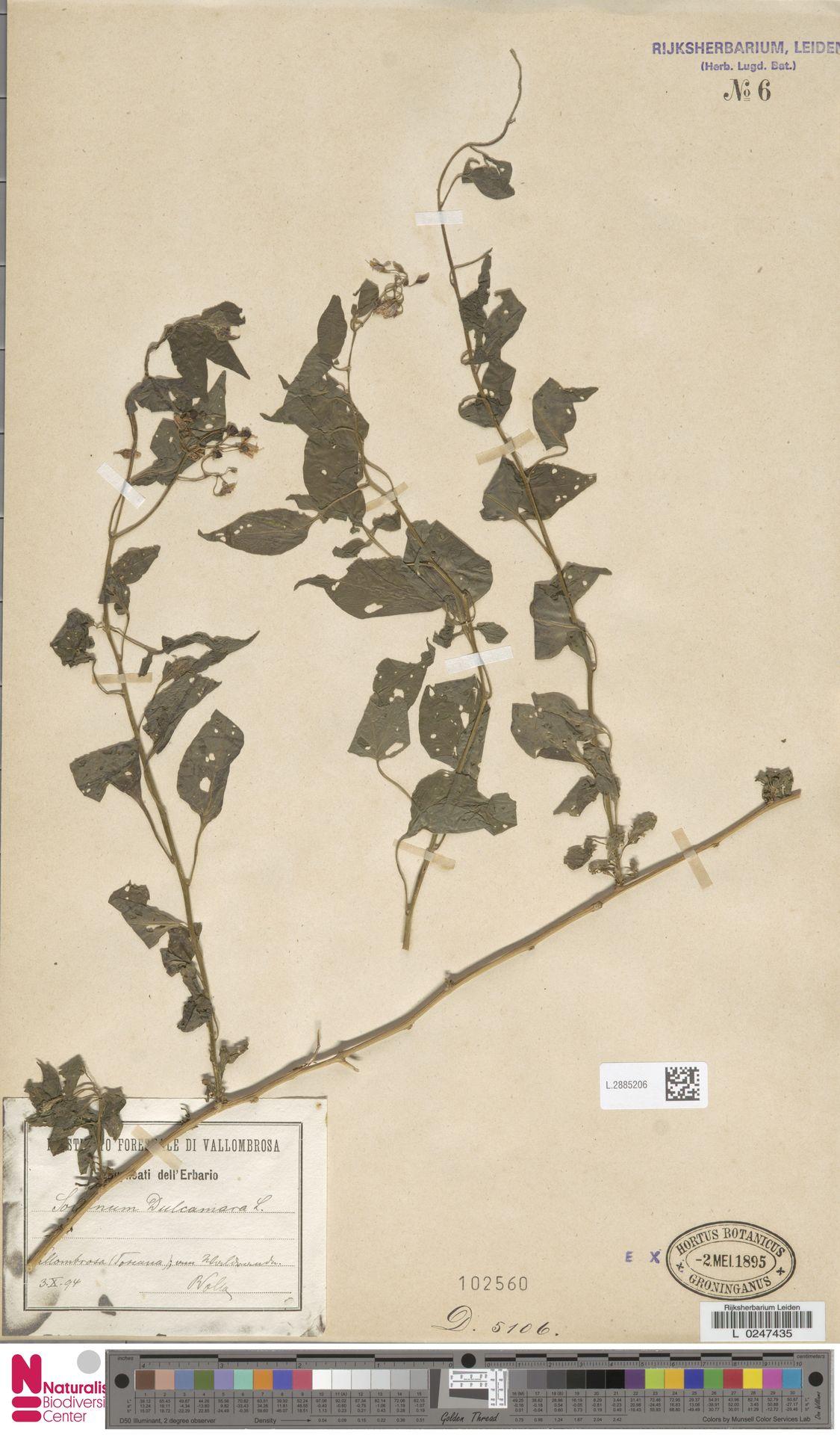 L.2885206   Solanum dulcamara L.