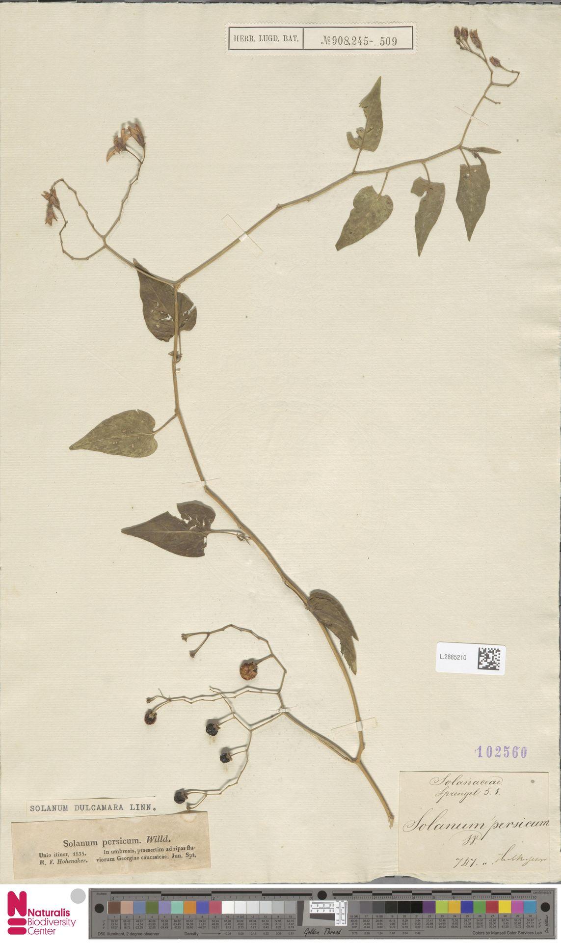 L.2885210 | Solanum dulcamara L.
