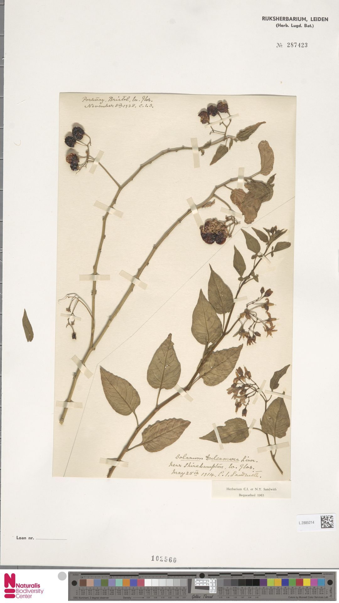 L.2885214 | Solanum dulcamara L.