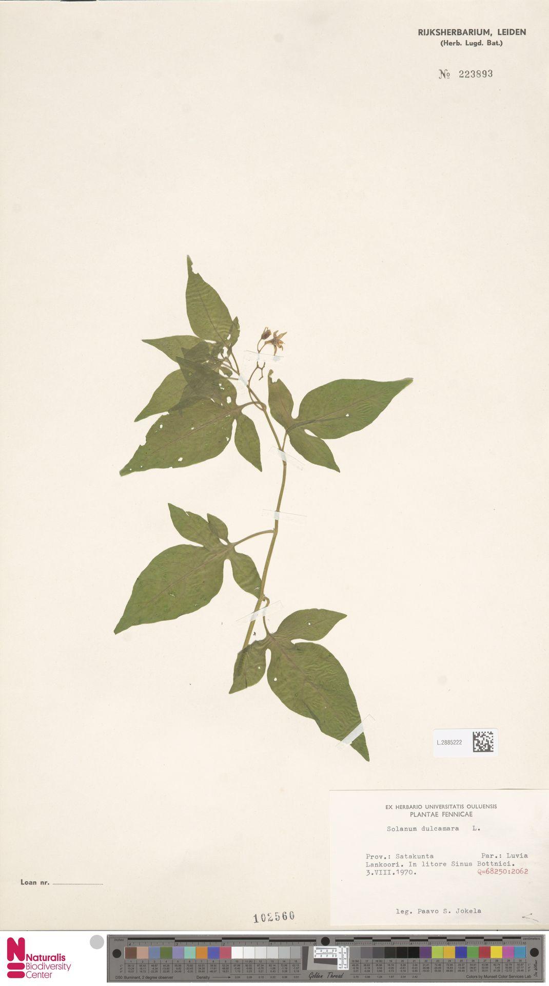 L.2885222 | Solanum dulcamara L.