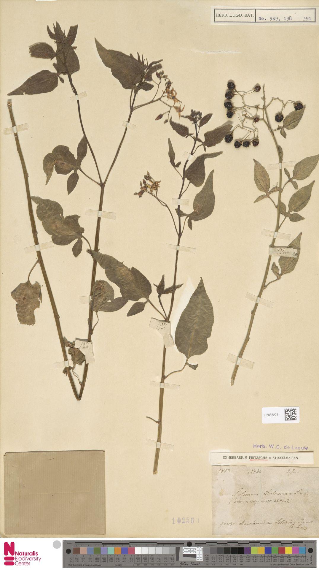 L.2885227   Solanum dulcamara L.