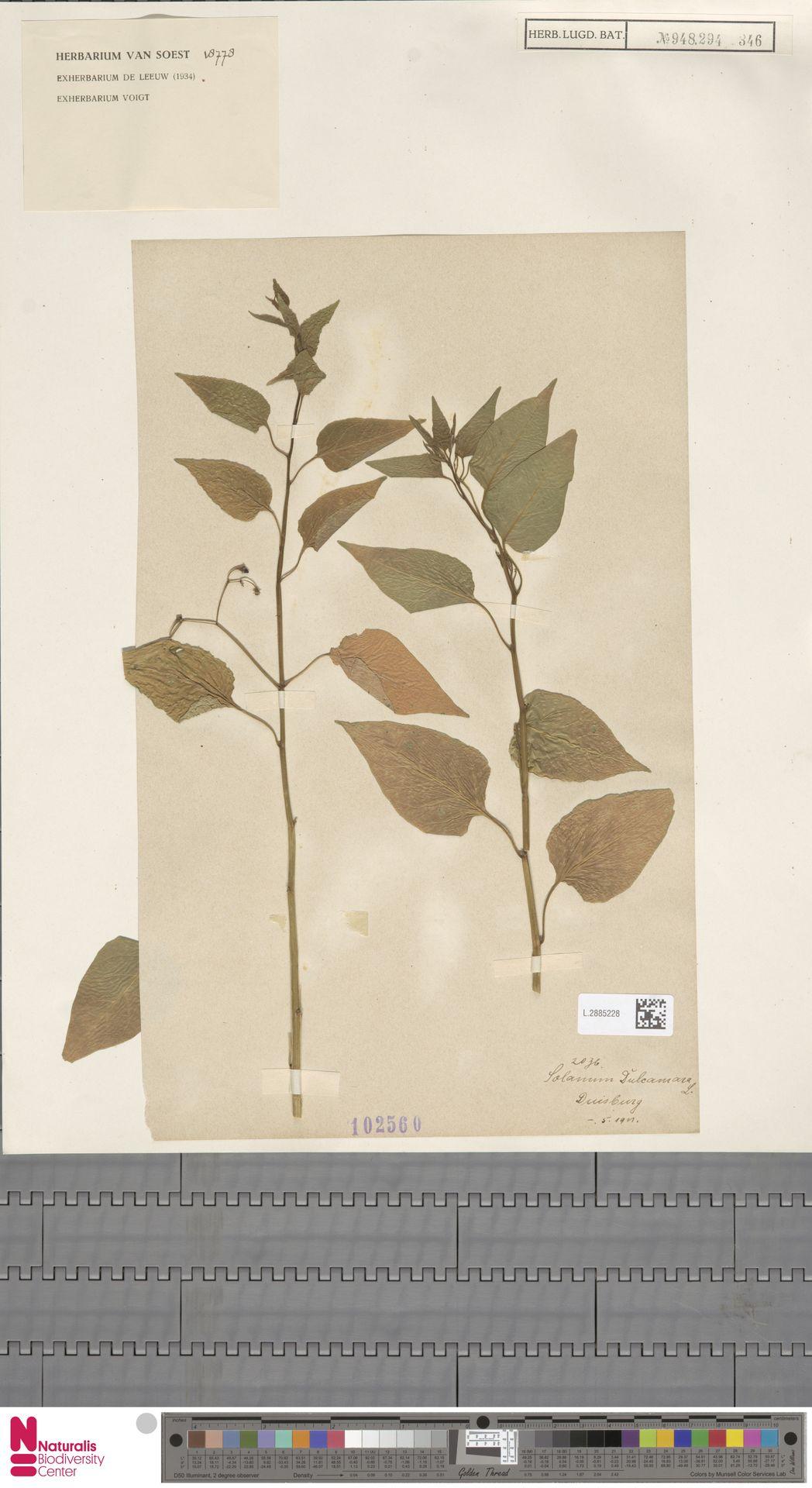 L.2885228 | Solanum dulcamara L.